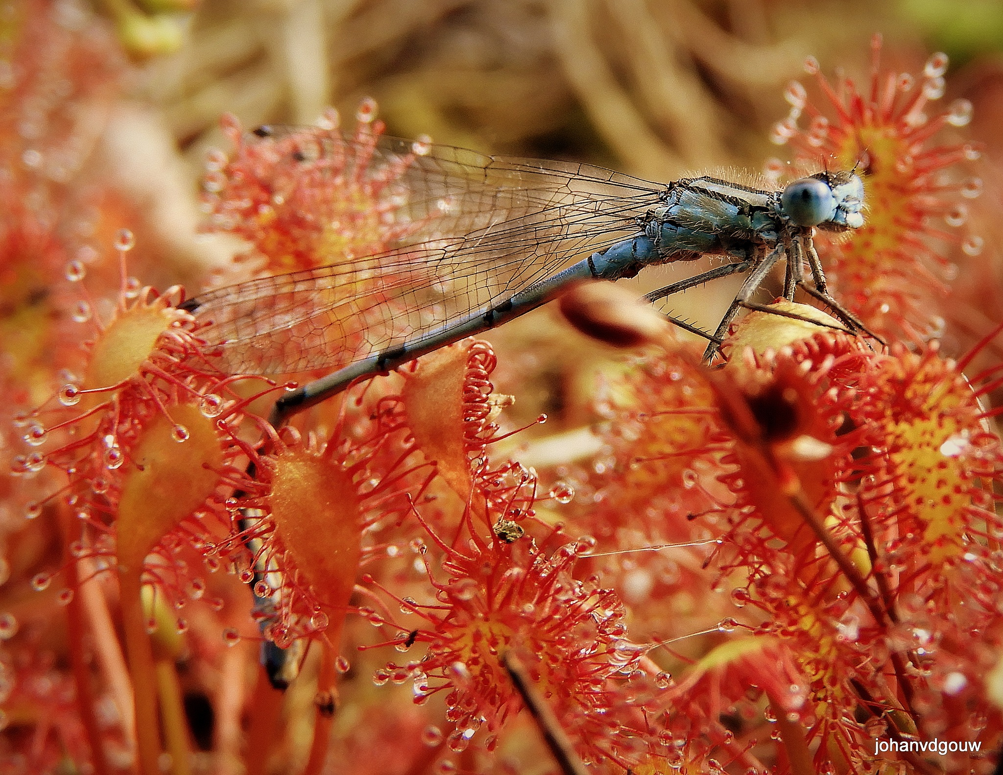 Dragonfly caught by the sundew 1 by johan.vandergouw