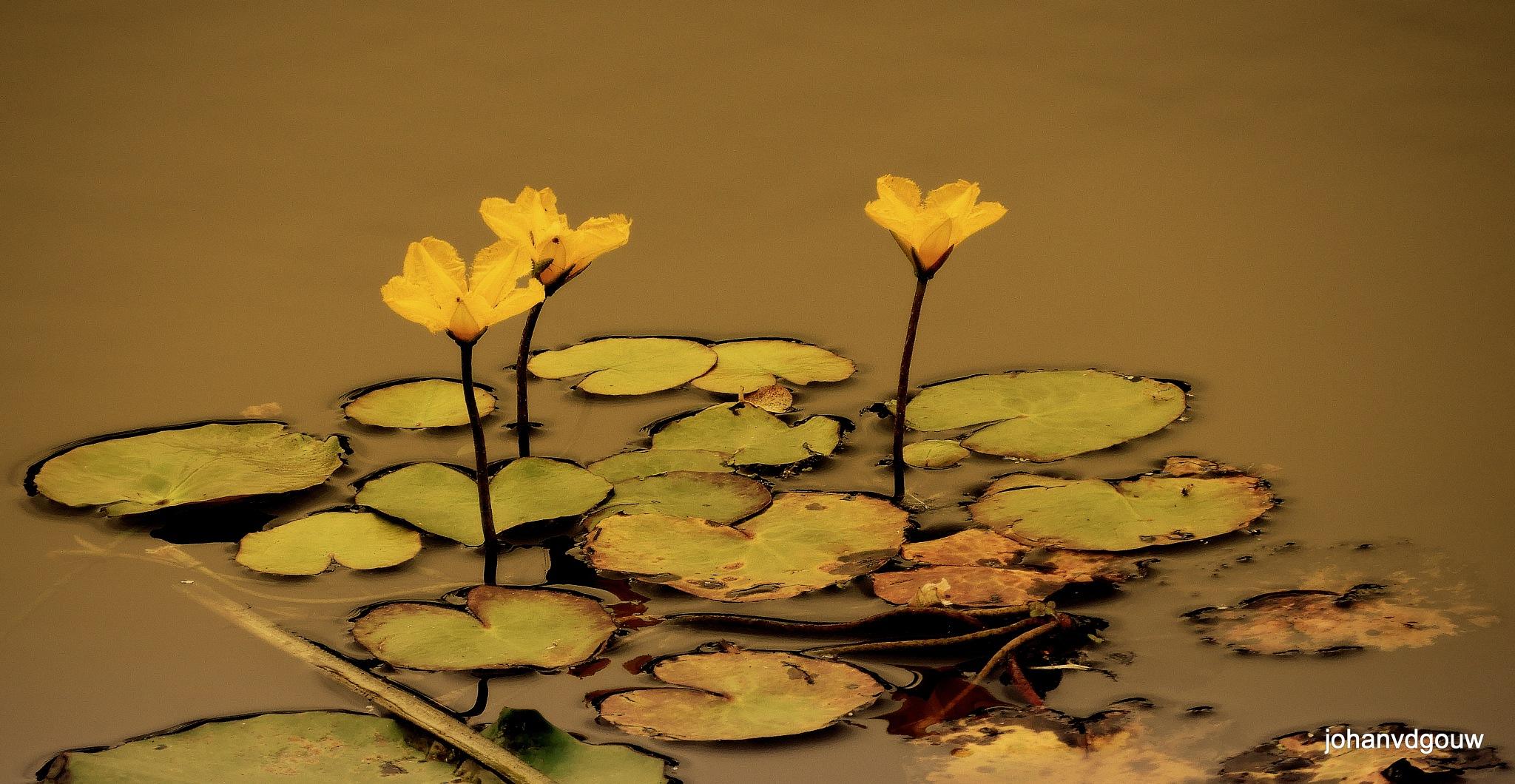 Aquatic plants by johan.vandergouw