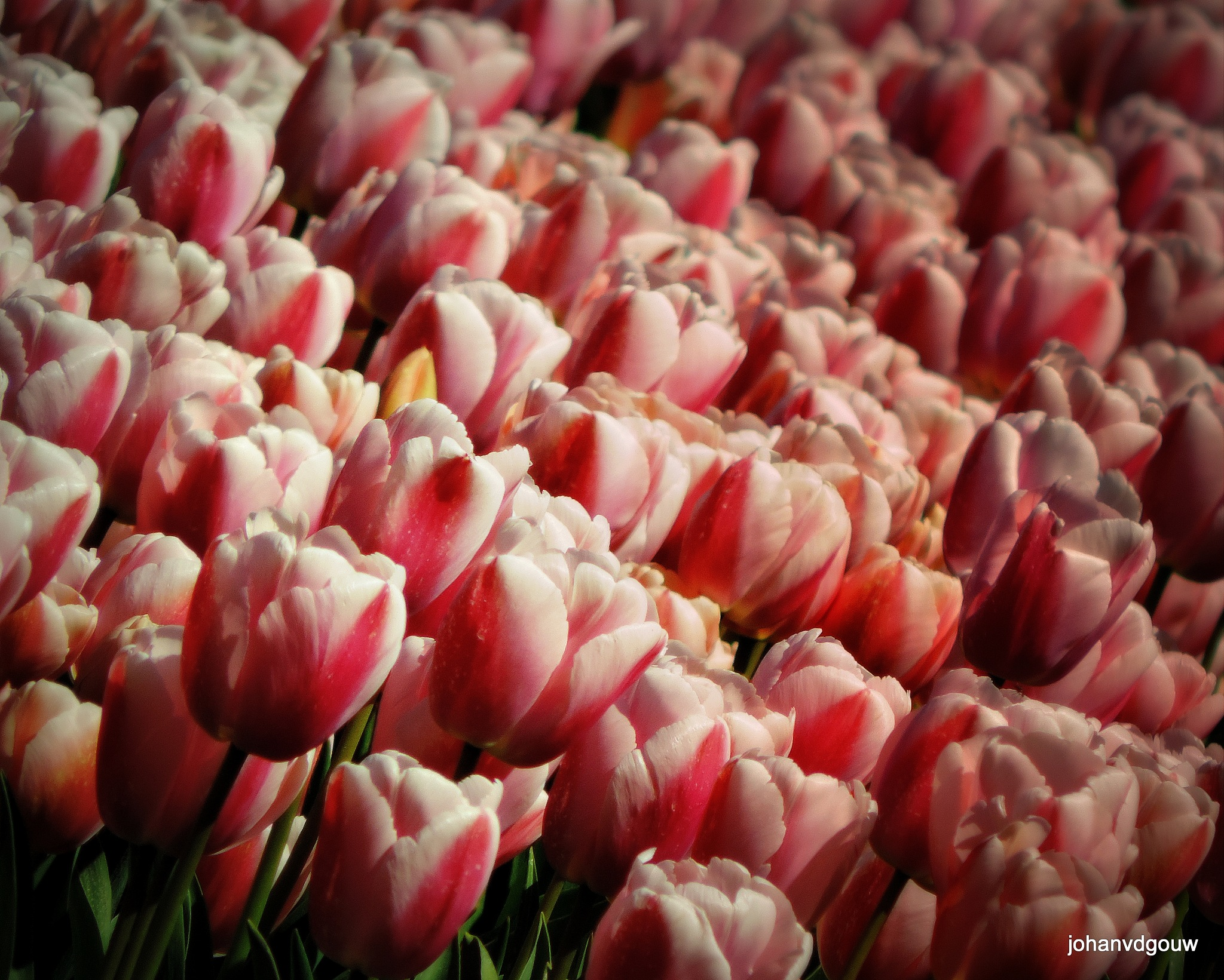 Tulips 4 by johan.vandergouw