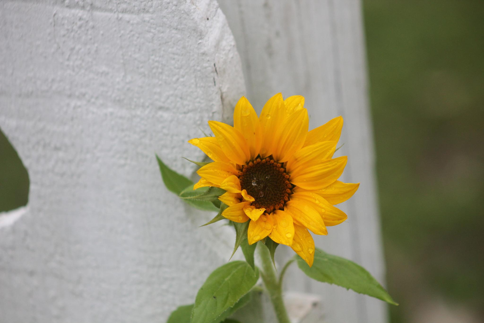 sunflower kisssed by spring rain by terri.blue