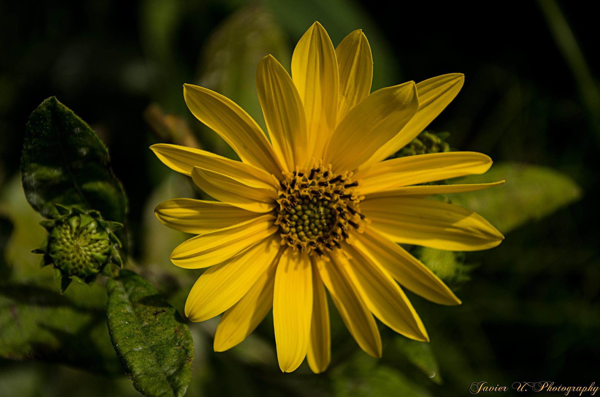 Flor salvaje by Chirolin72