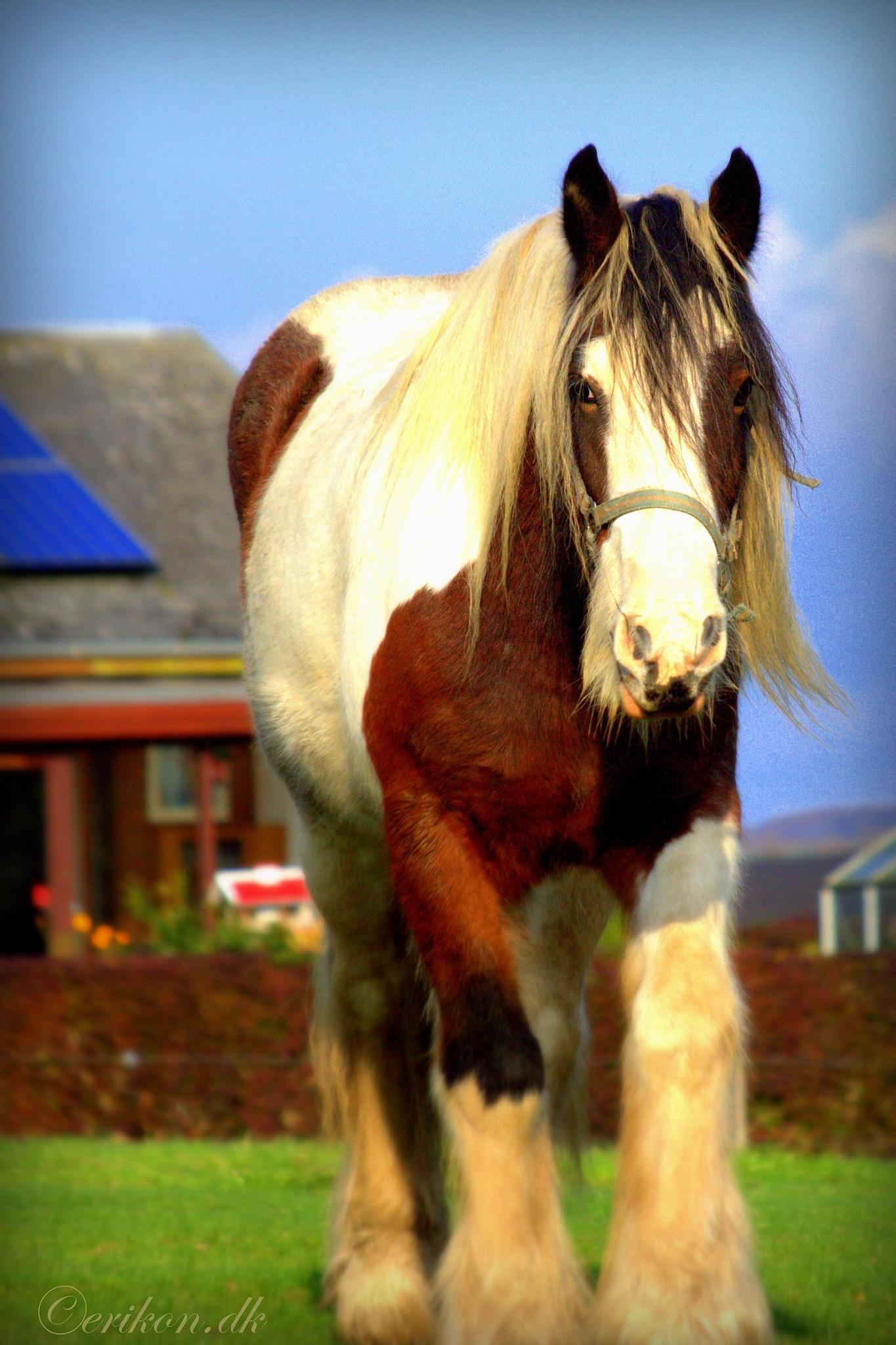 a stallion by Erik Nielsen/www.erikon.dk