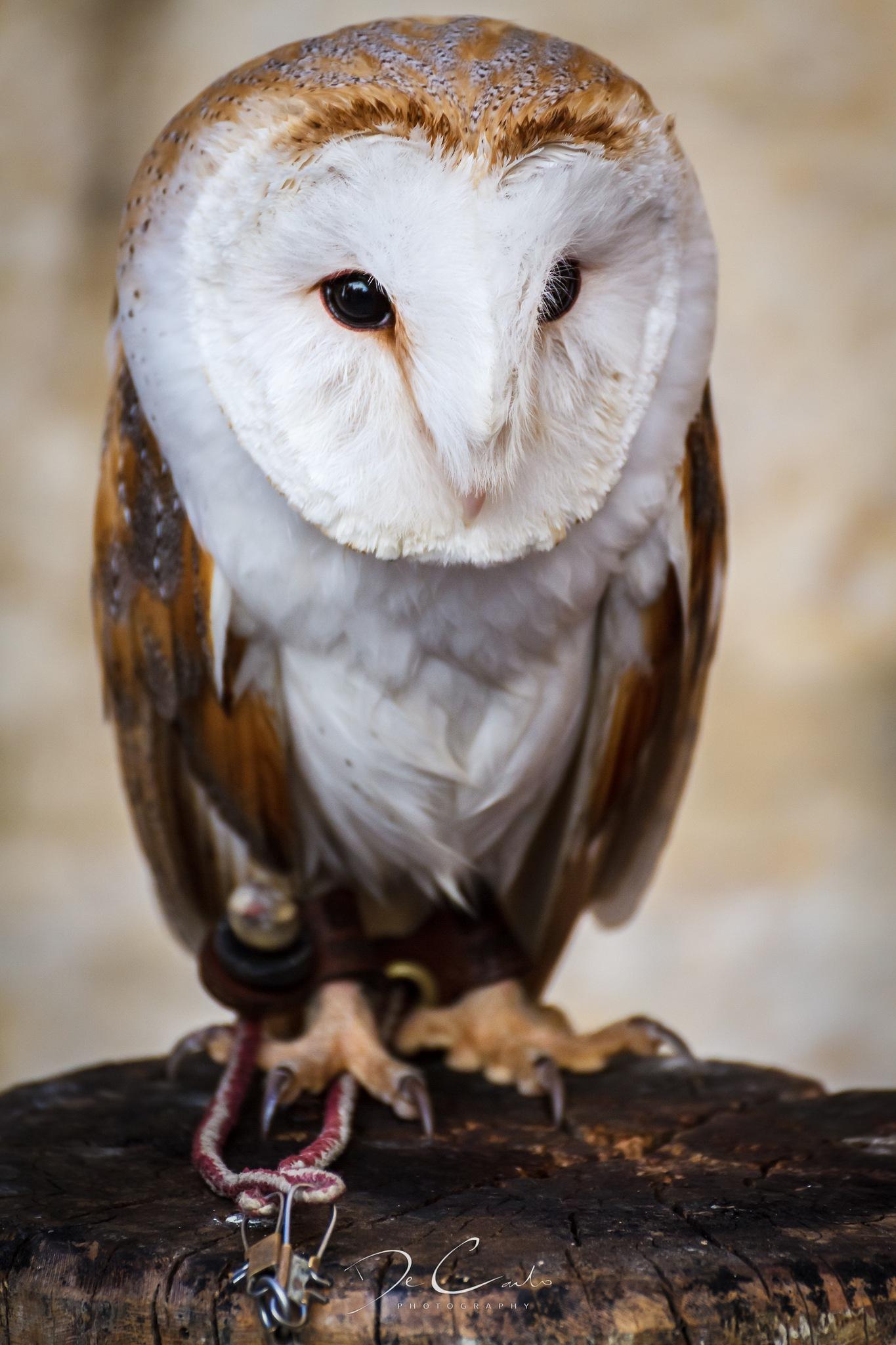 Owl's mask by Robert De Carlo