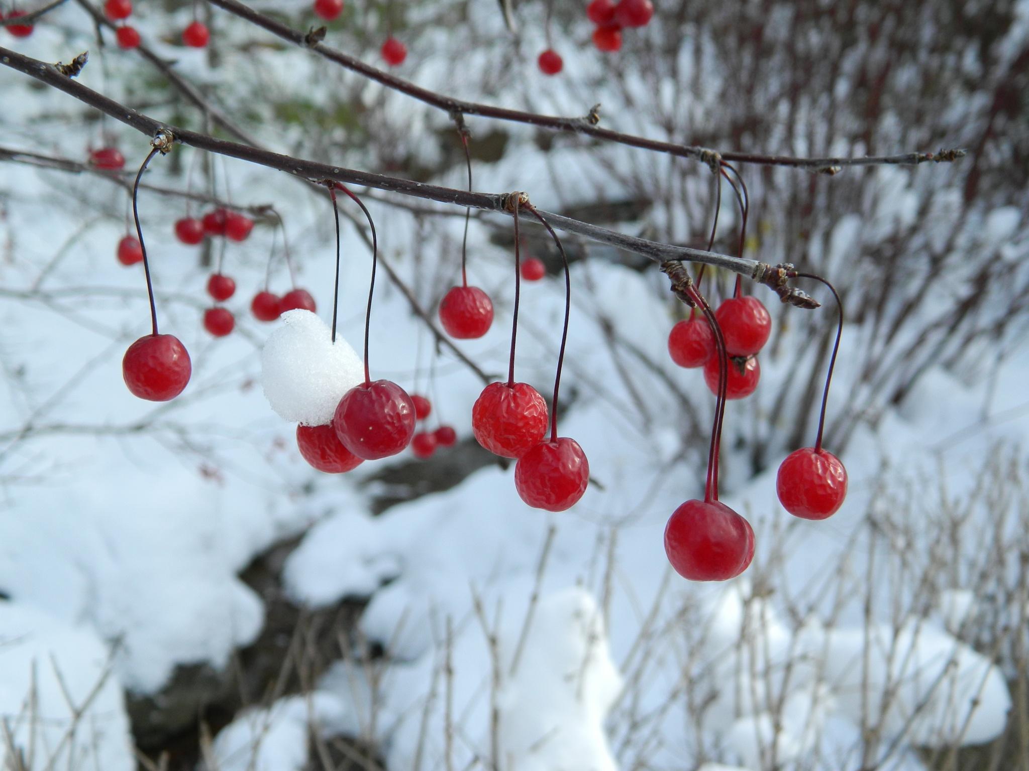 Winter Berries by kristina.chermak