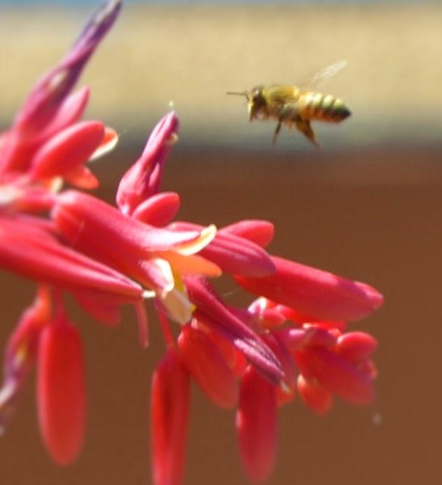 Bees Love Aloe Vera 1 by adelaide.brownhay.1