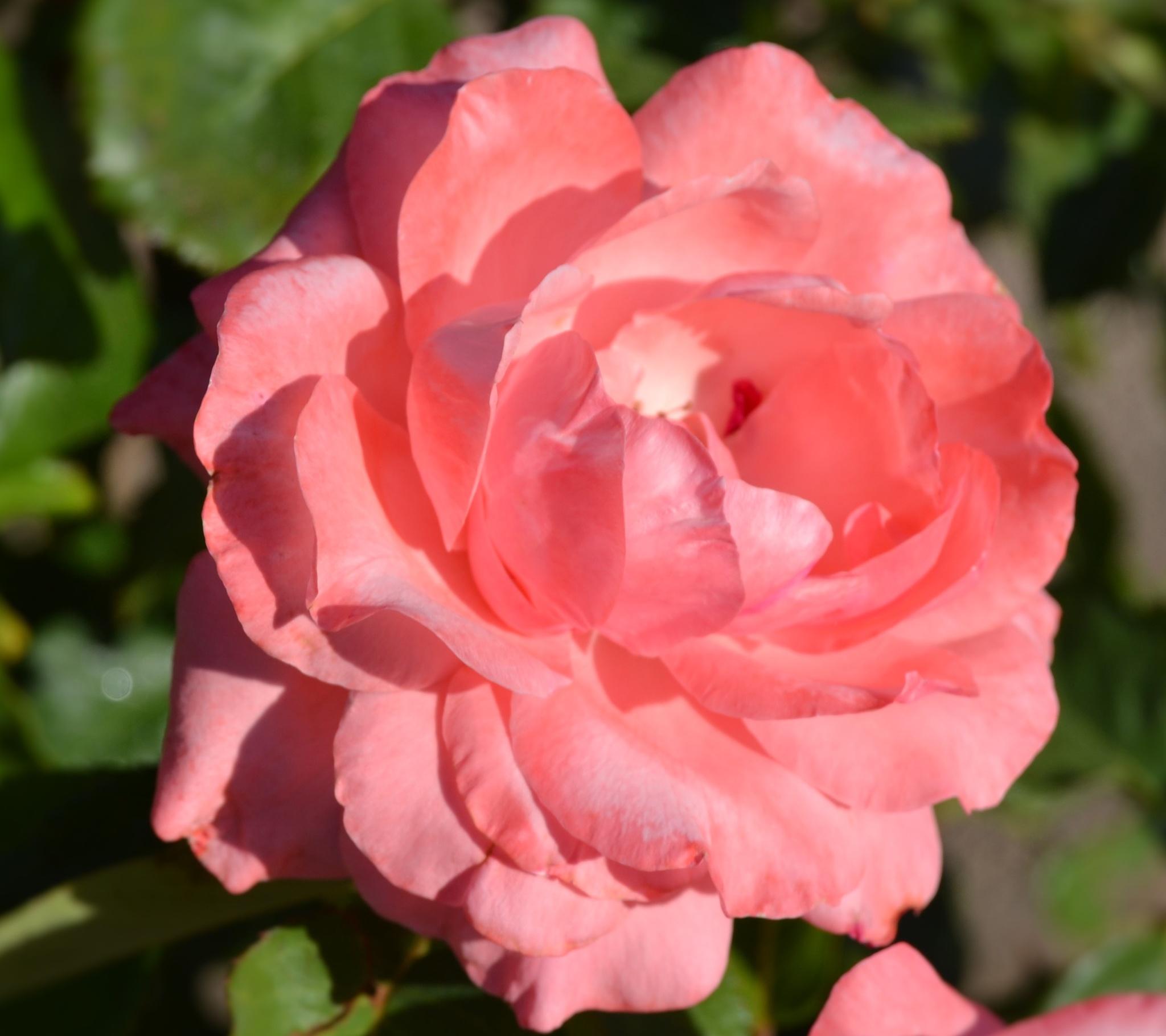 Powder Pink by adelaide.brownhay.1