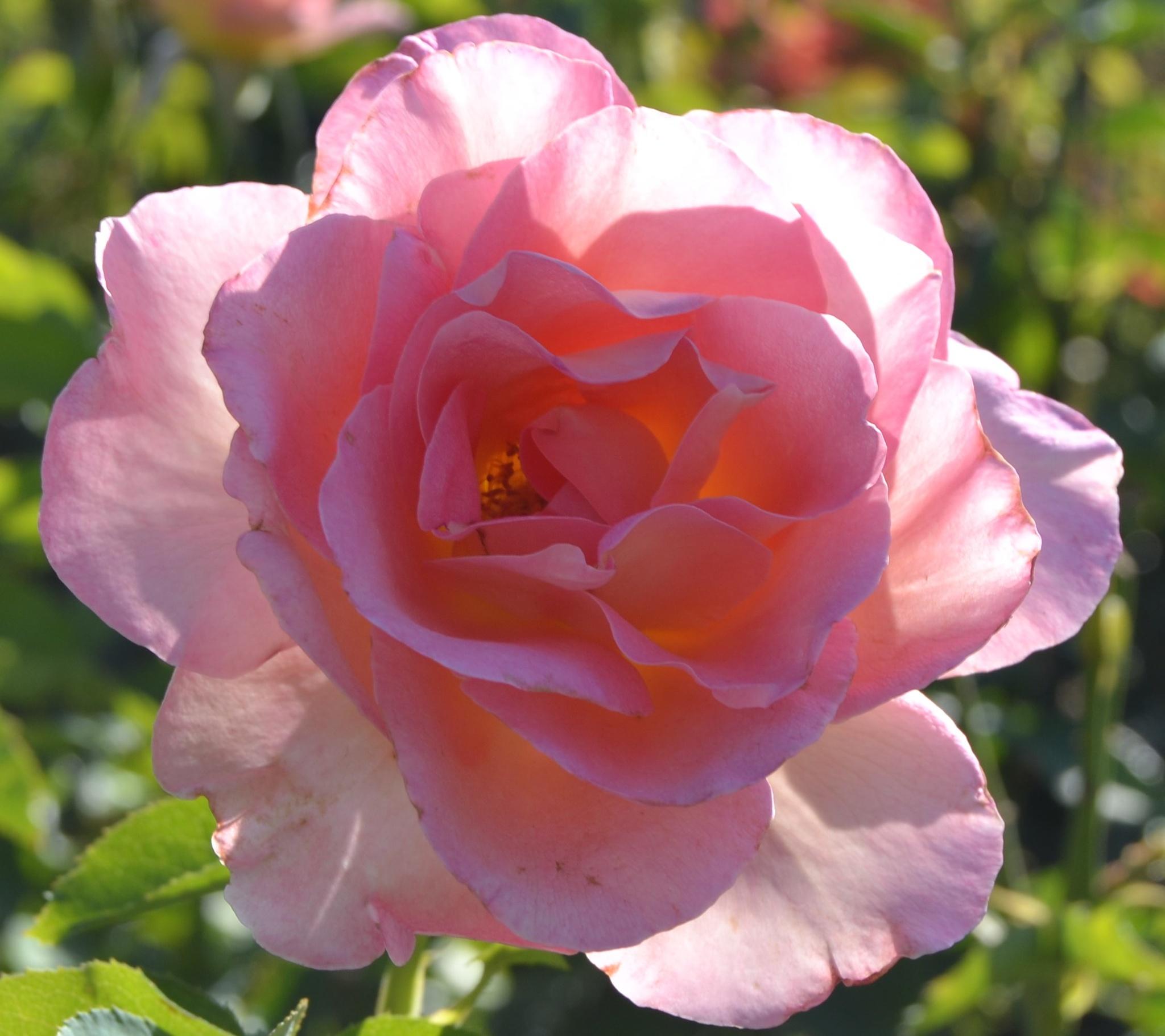 Pink Crepe by adelaide.brownhay.1