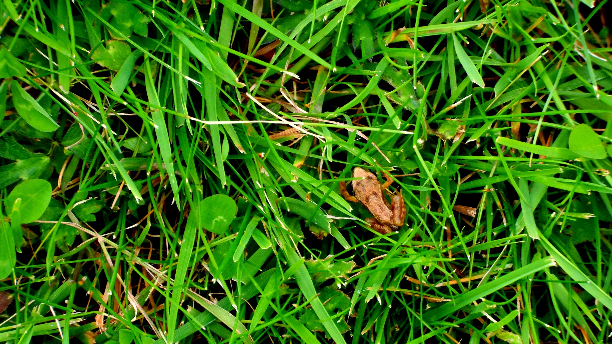 Baby frog seeking shelter in the grass by Tony Bent