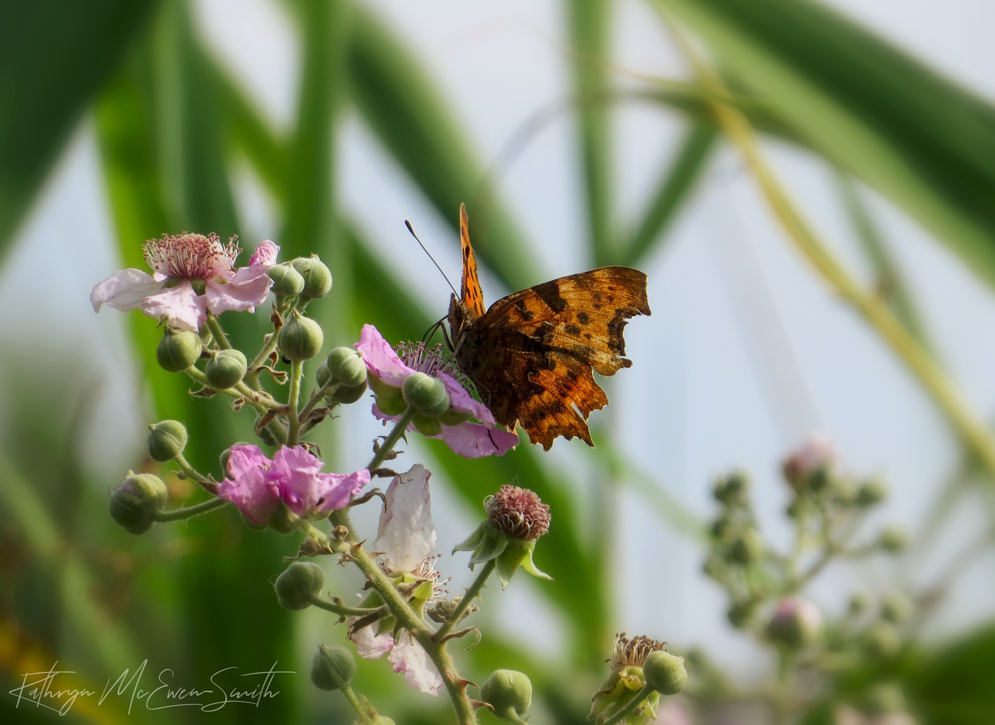Butterfly feeding on wild pink flowers 2 by Kathryn McEwen-Smith