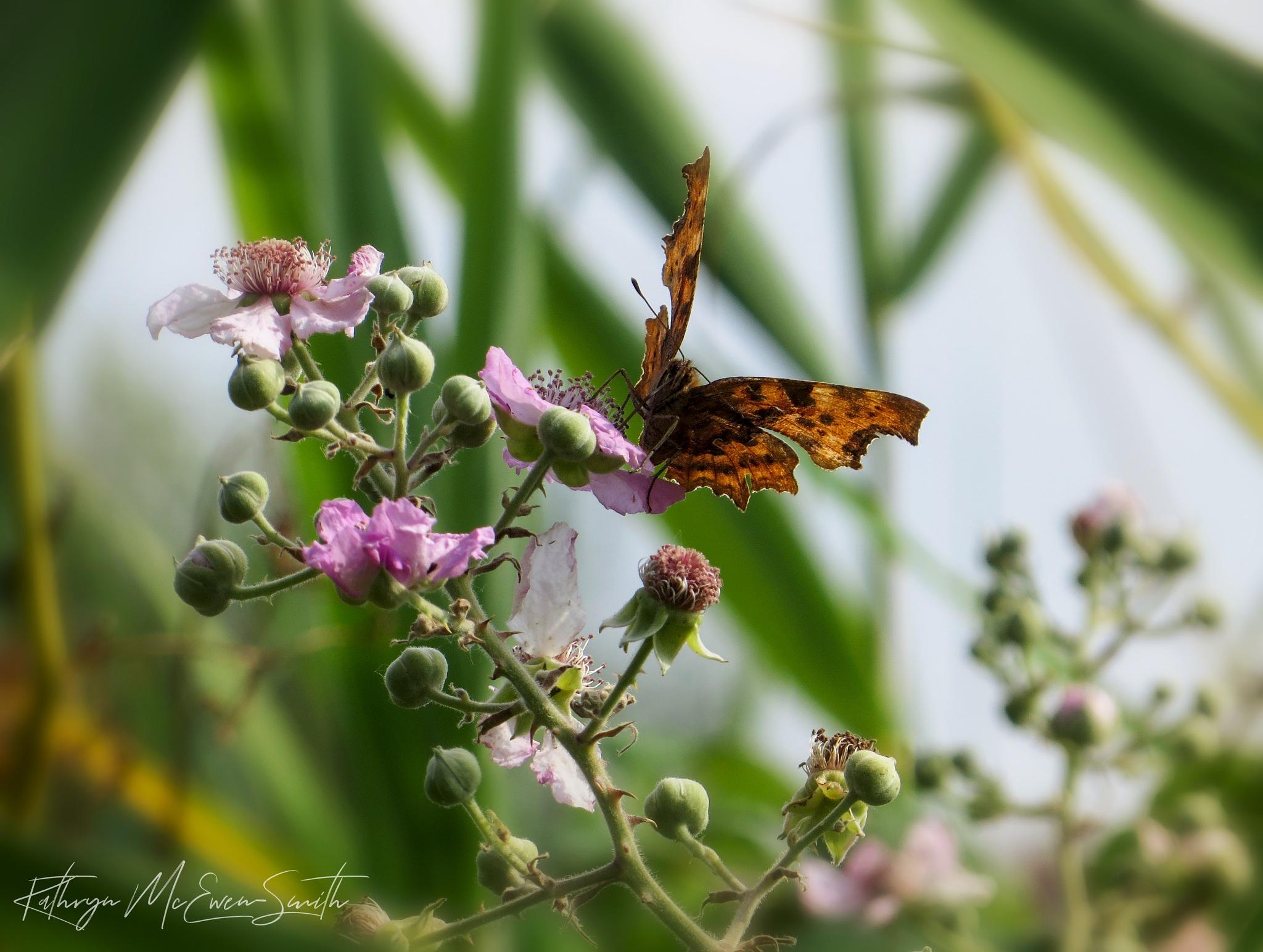 Butterfly feeding on wild pink flowers by Kathryn McEwen-Smith