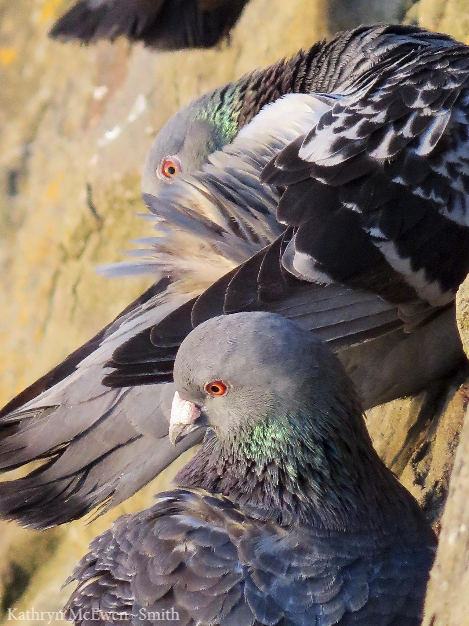 Pigeons preening by Kathryn McEwen-Smith
