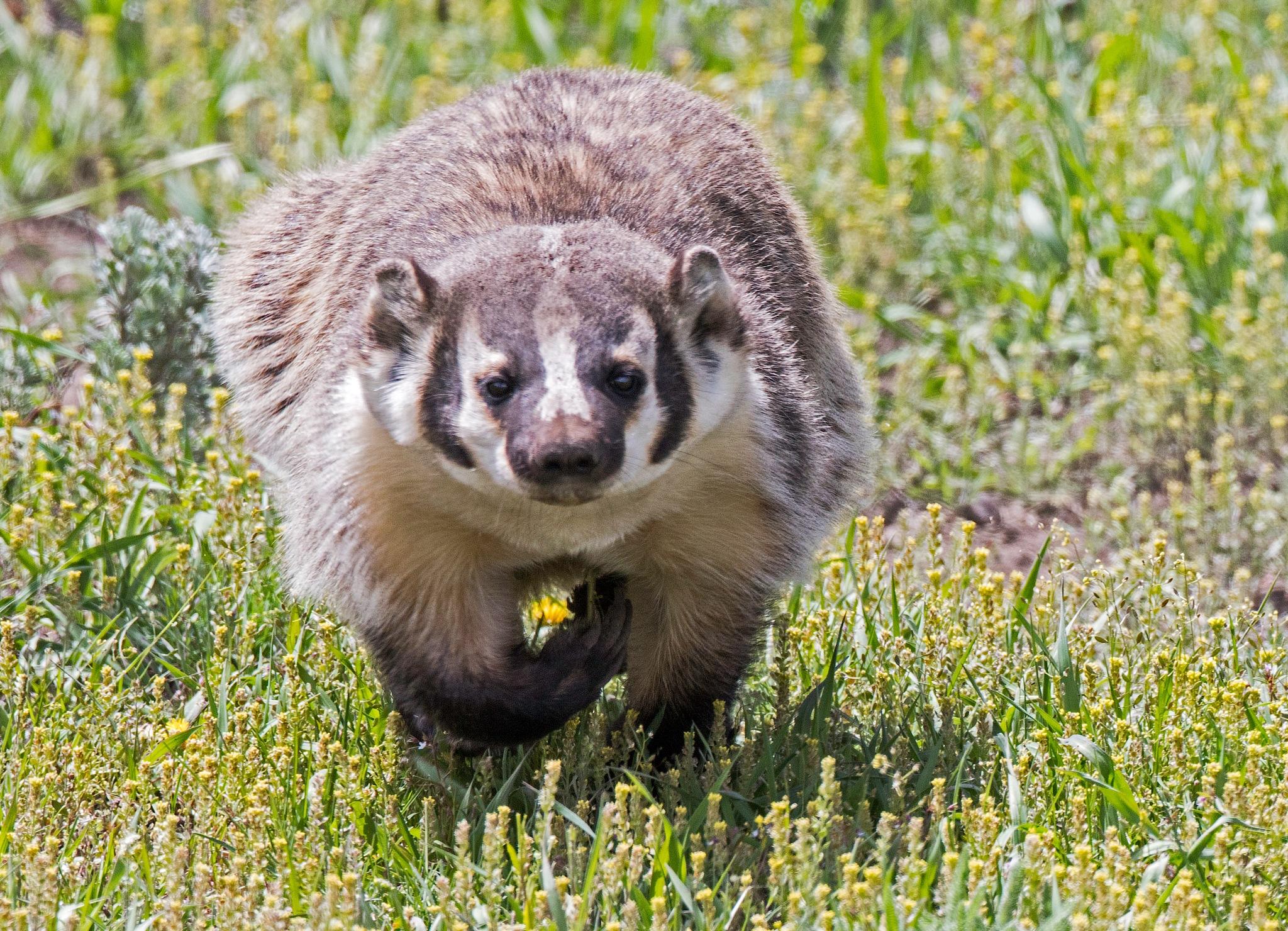 Badger Running by lgambon