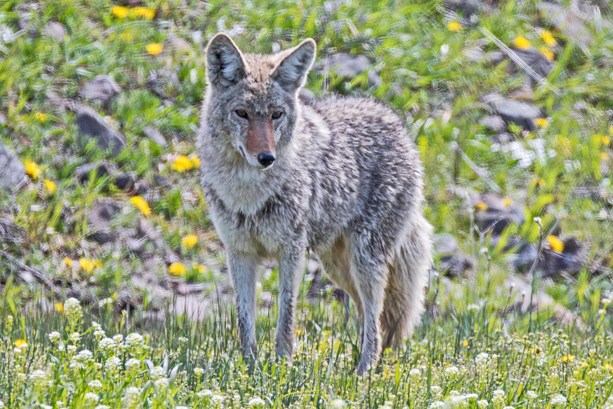 Coyote by lgambon
