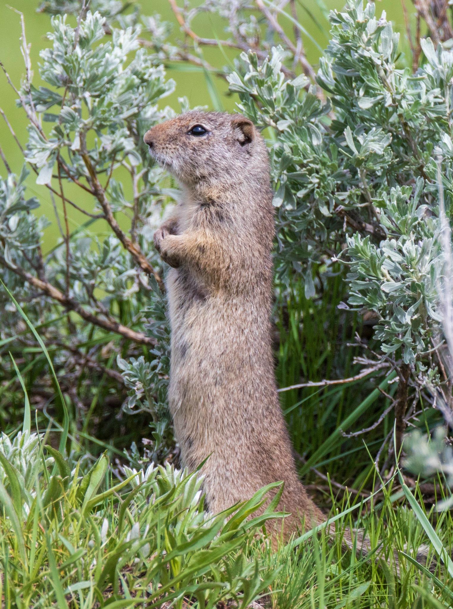 Alert Ground Squirrel by lgambon