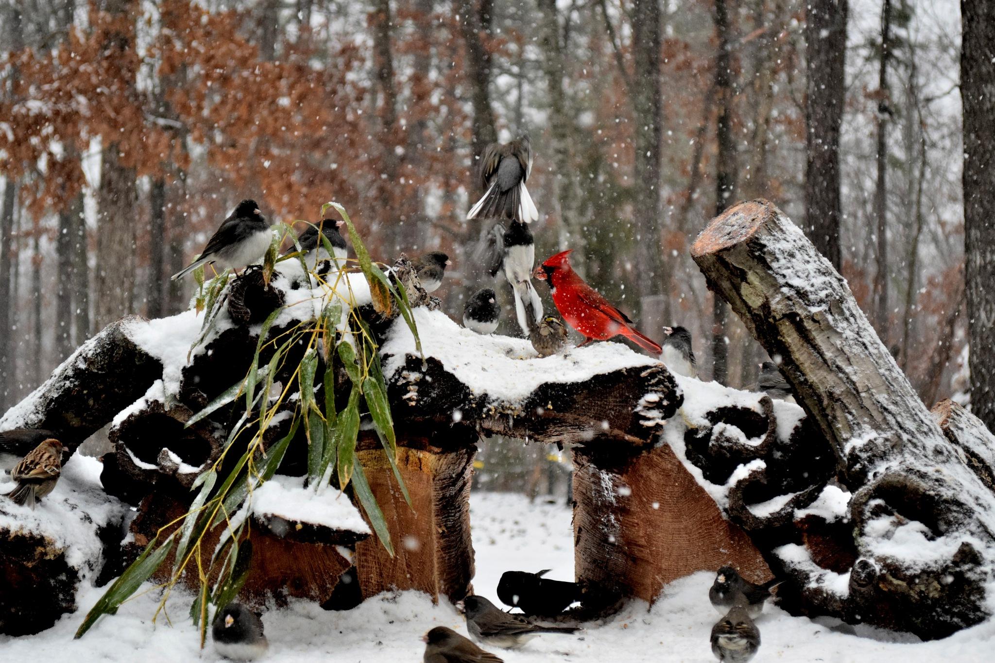 Nature's Birds 154~Snowy Days 4 by Lawrence Scott Hess