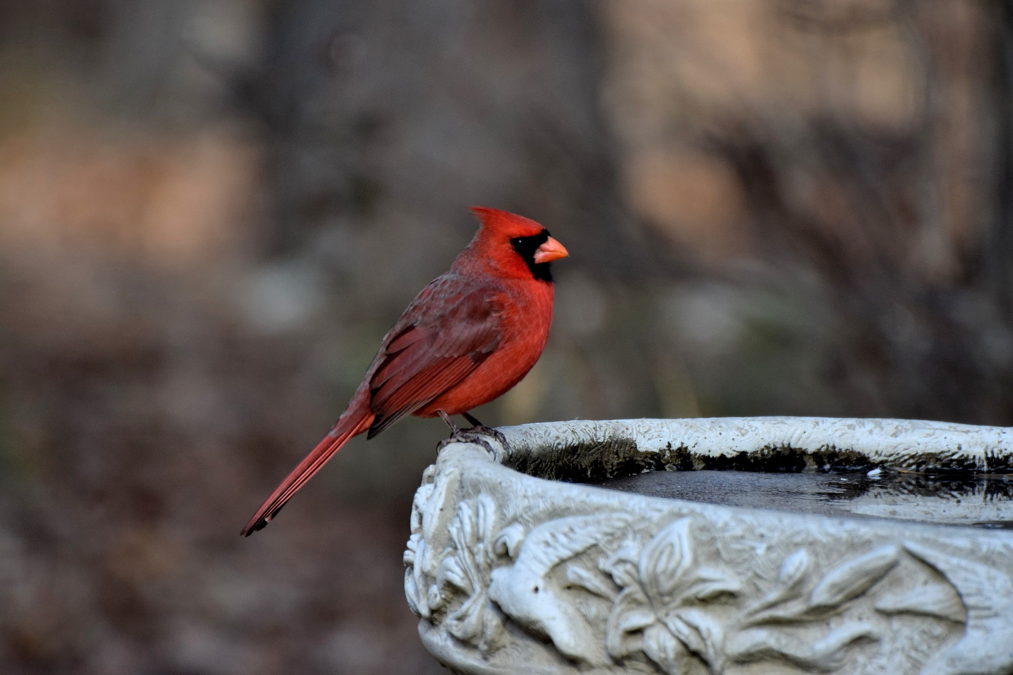 Natue's Birds 1432~The Pretty Cardinal by Lawrence Scott Hess