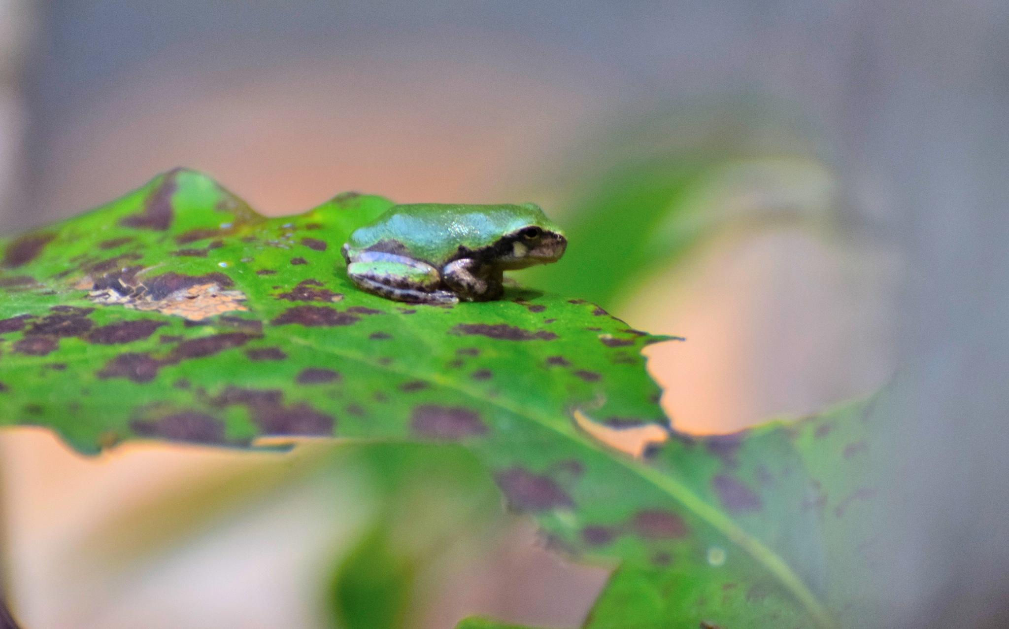 Todays Art 5126~Leaf Frog by Lawrence Scott Hess