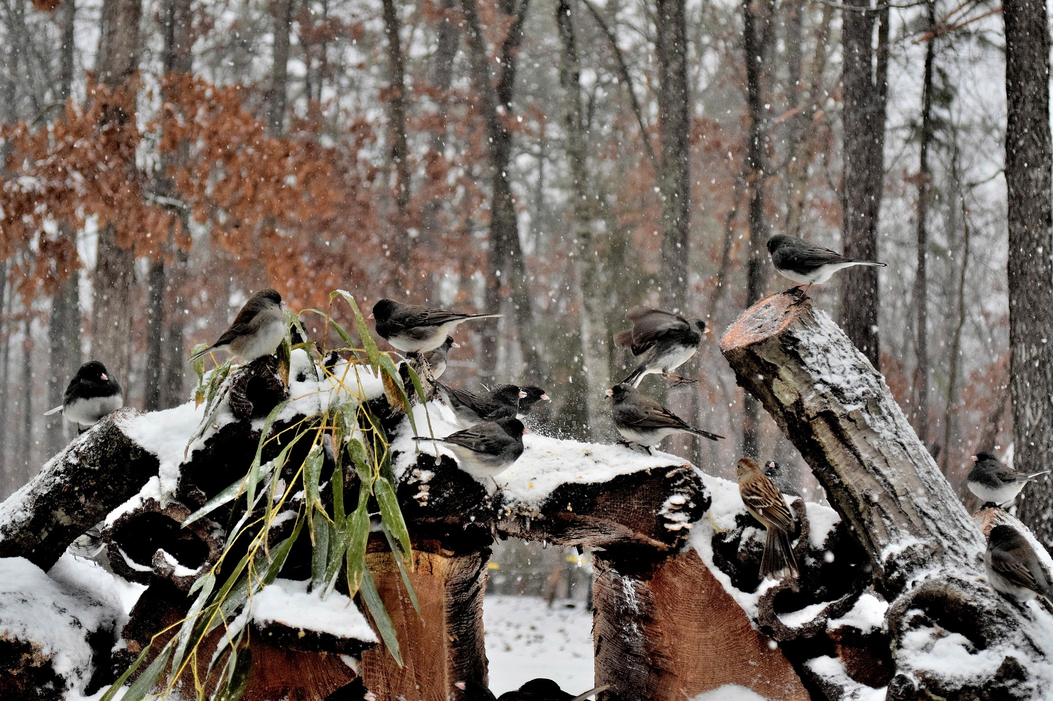 Nature's Birds 155~Playing In The Snow by Lawrence Scott Hess