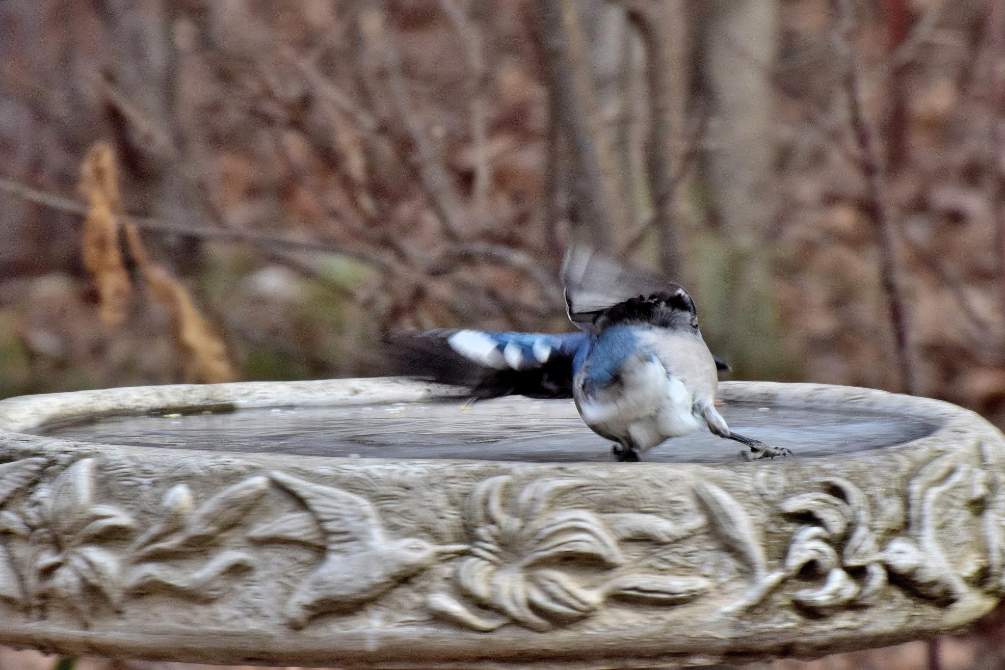 Nature's Birds 1431~Sliding On Ice by Lawrence Scott Hess