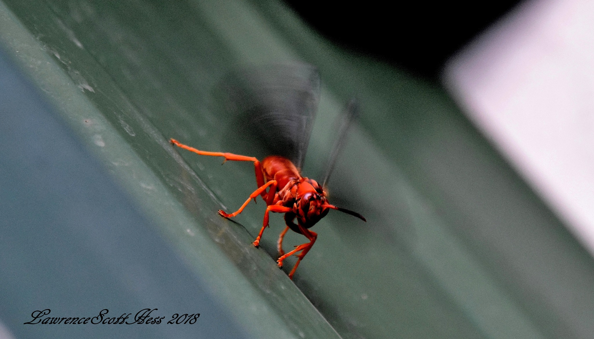 Photo in Nature #bugs #insects #wings #wasp #nature