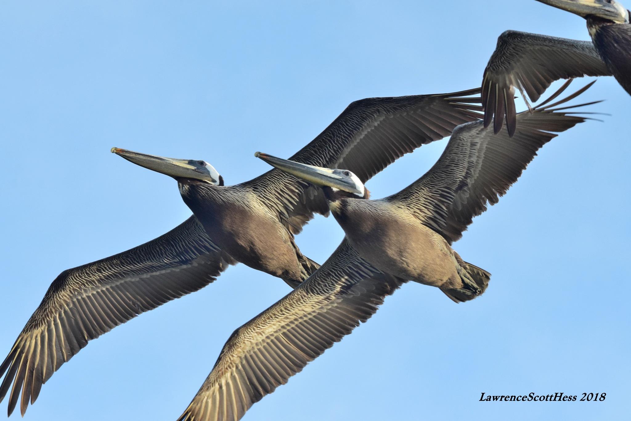 Galveston 350~Sea Birds by Lawrence Scott Hess