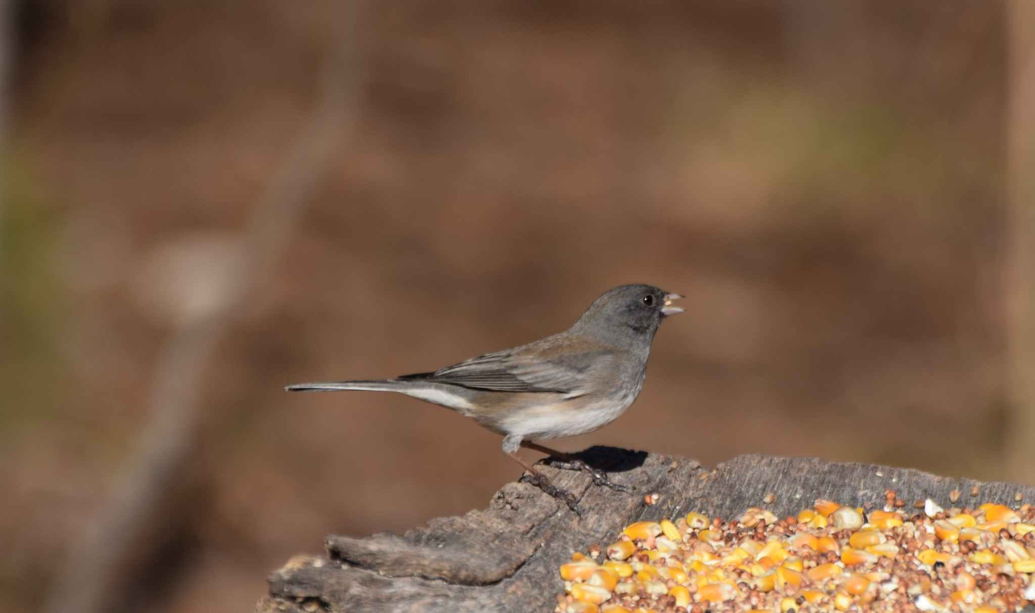 Nature's Birds 1560~The Dark Eyed Junco by Lawrence Scott Hess