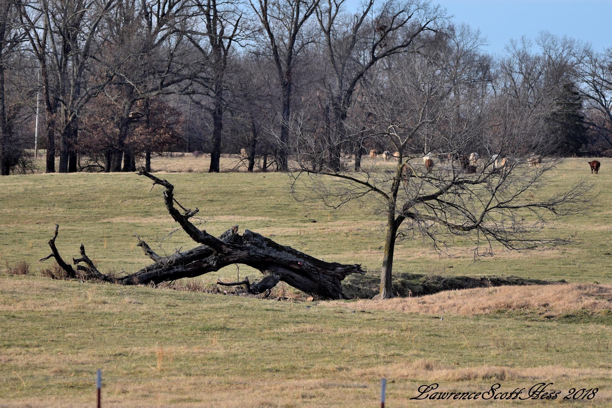 Scotty's Art 1468~The Fallen Tree by Lawrence Scott Hess