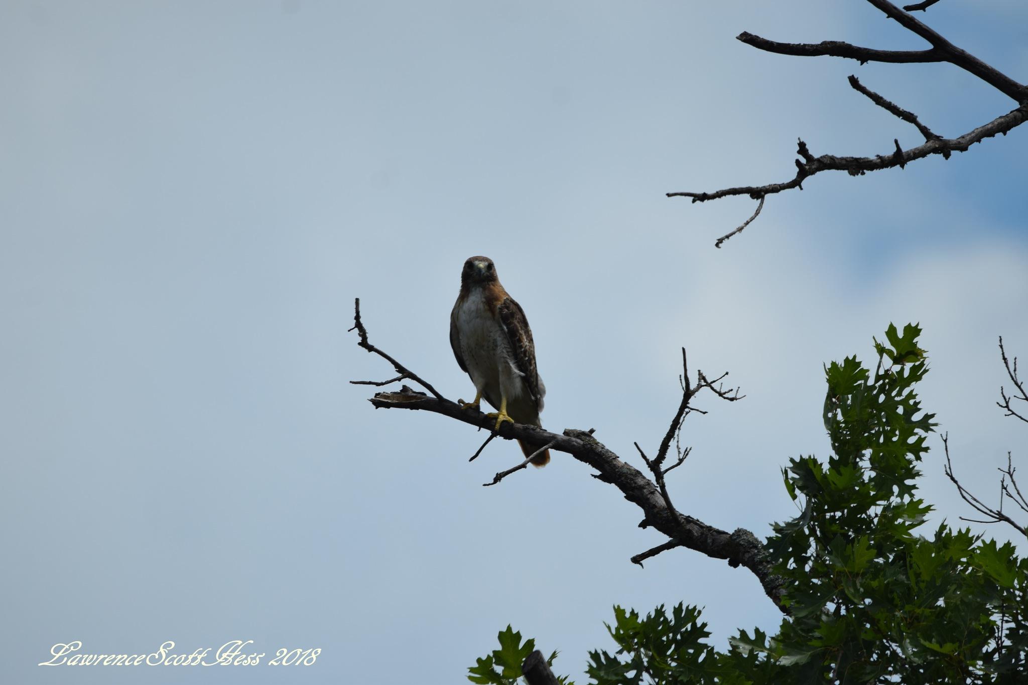 Photo in Nature #bird #limb #hawk #nature