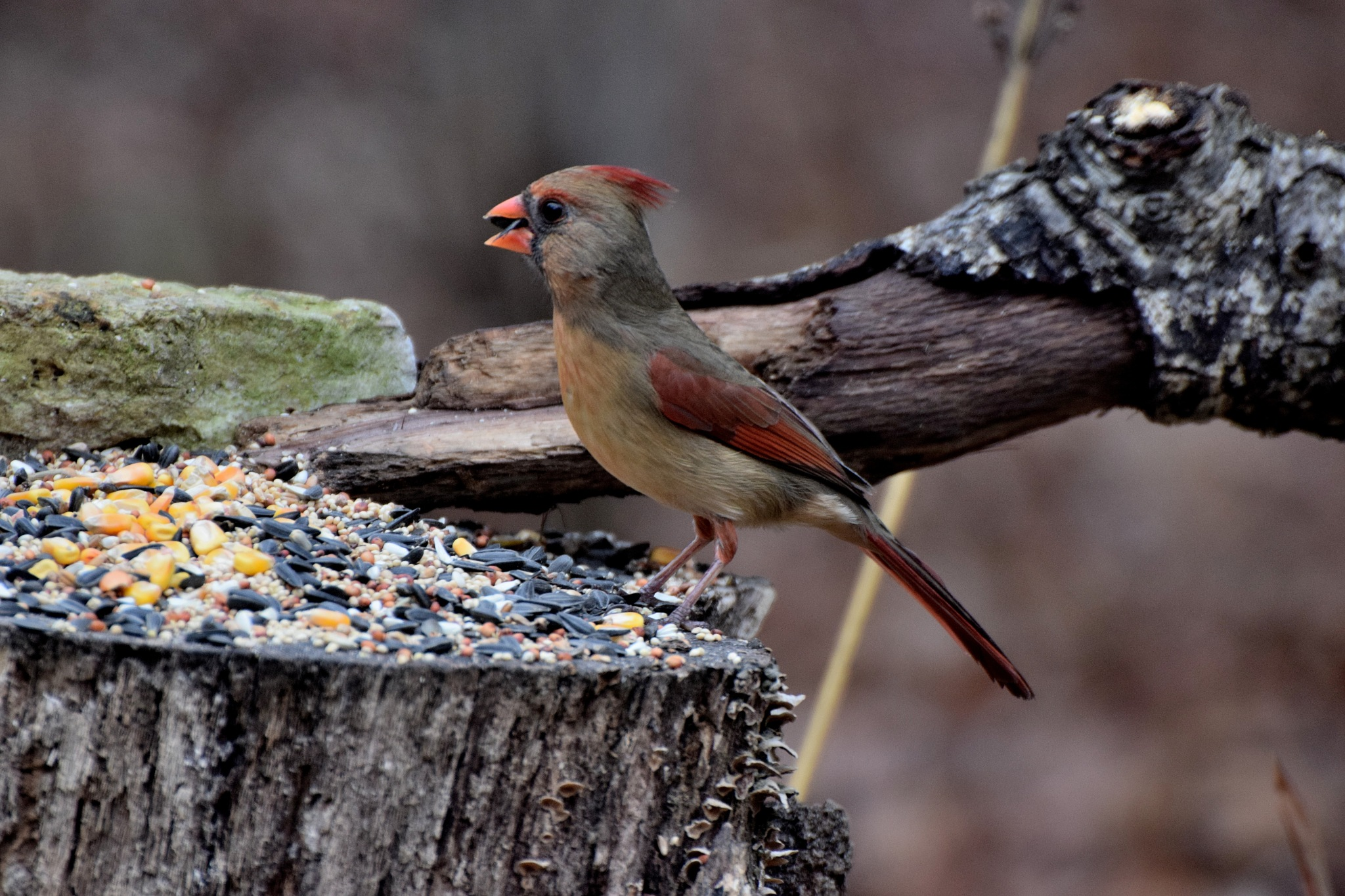 Nature's Birds 290~Feasting Female Cardinal by Lawrence Scott Hess