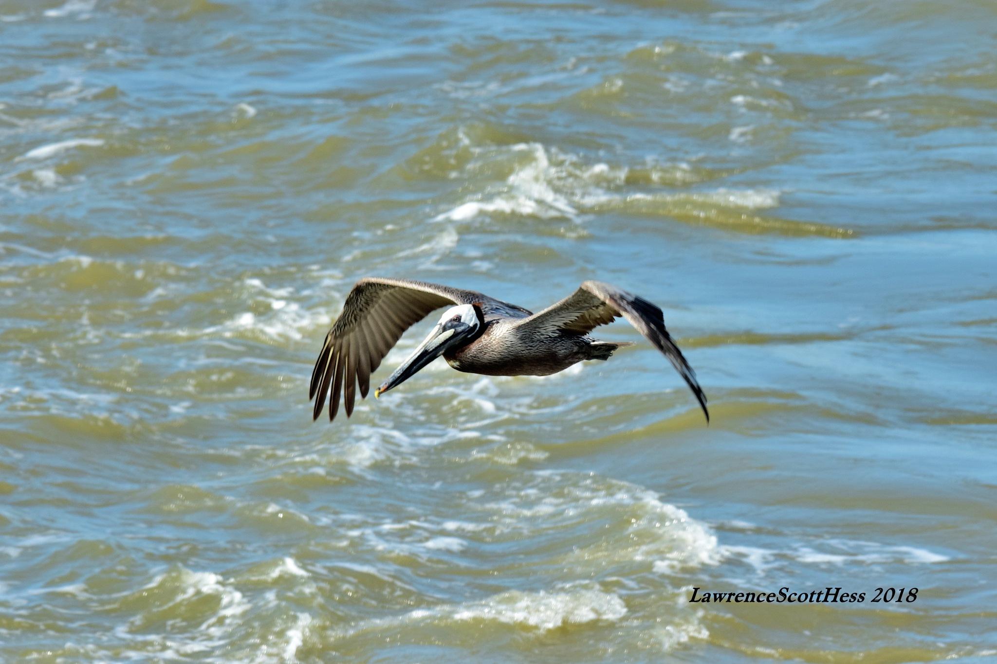 Galveston 614~Pelican Wings by Lawrence Scott Hess
