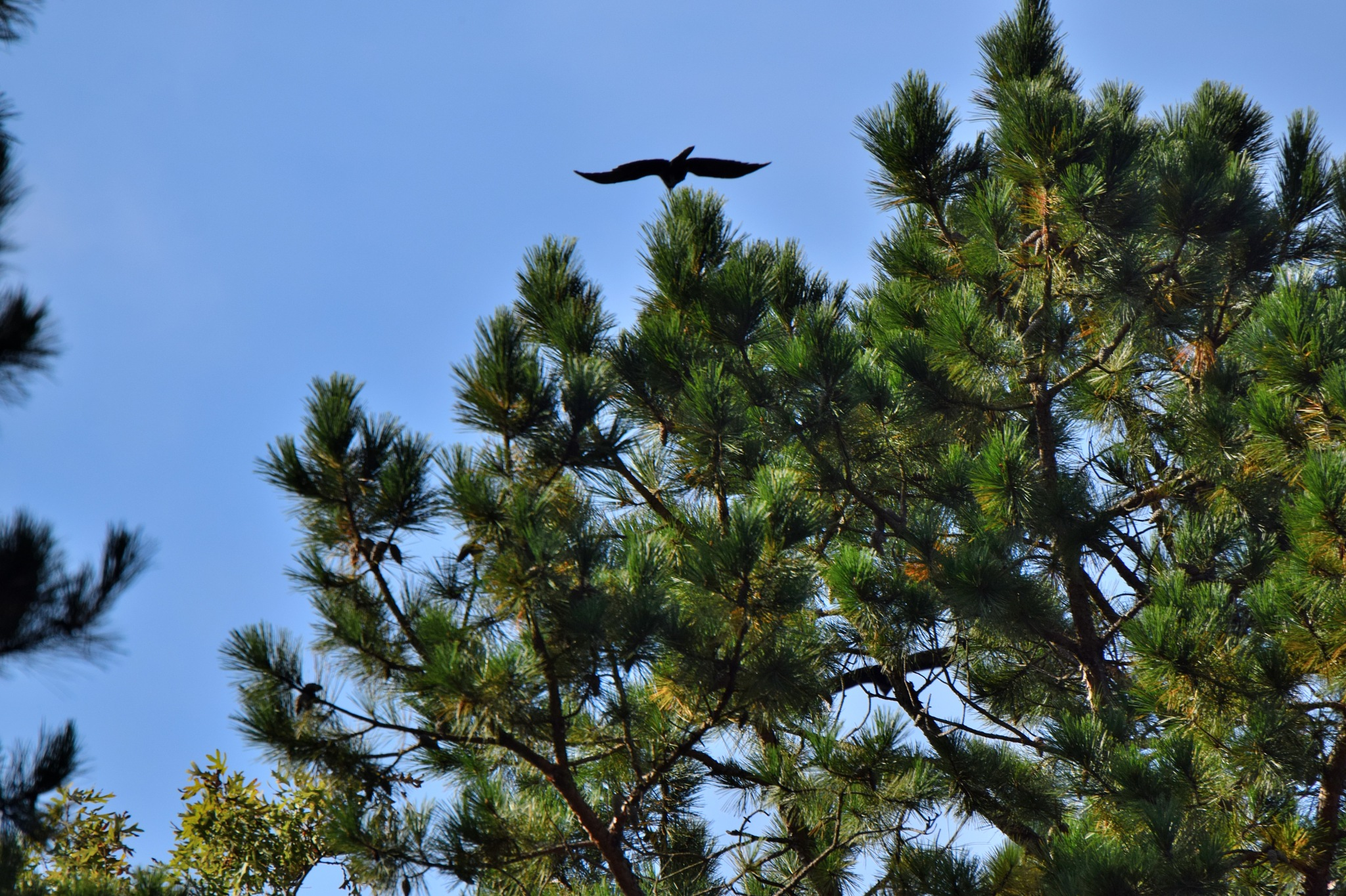Todays Art 3739~ Bird Over The Pines by Lawrence Scott Hess