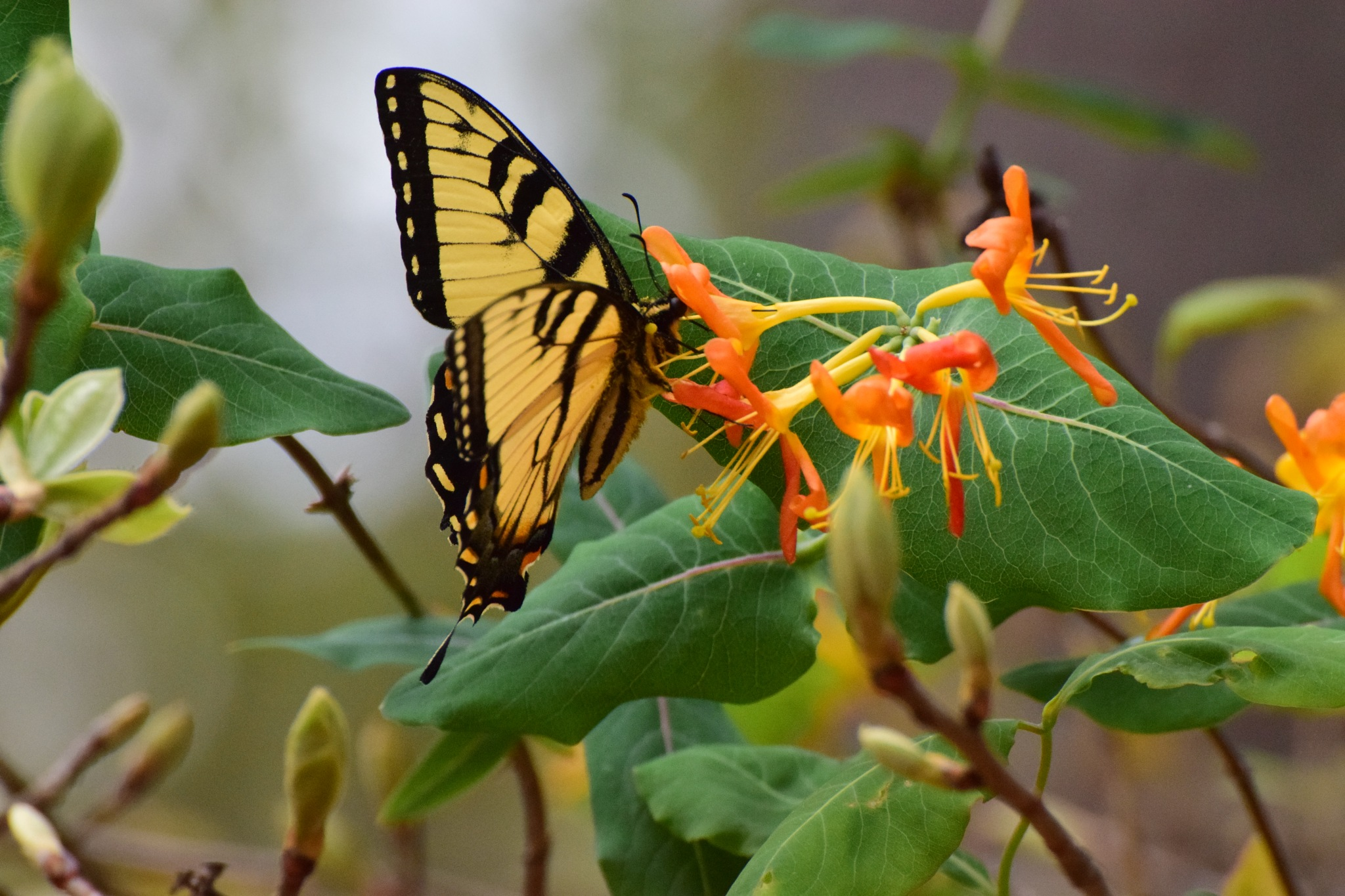 Todays Art 3571~ The Yellow Butterfly And Honeysuckle by Lawrence Scott Hess