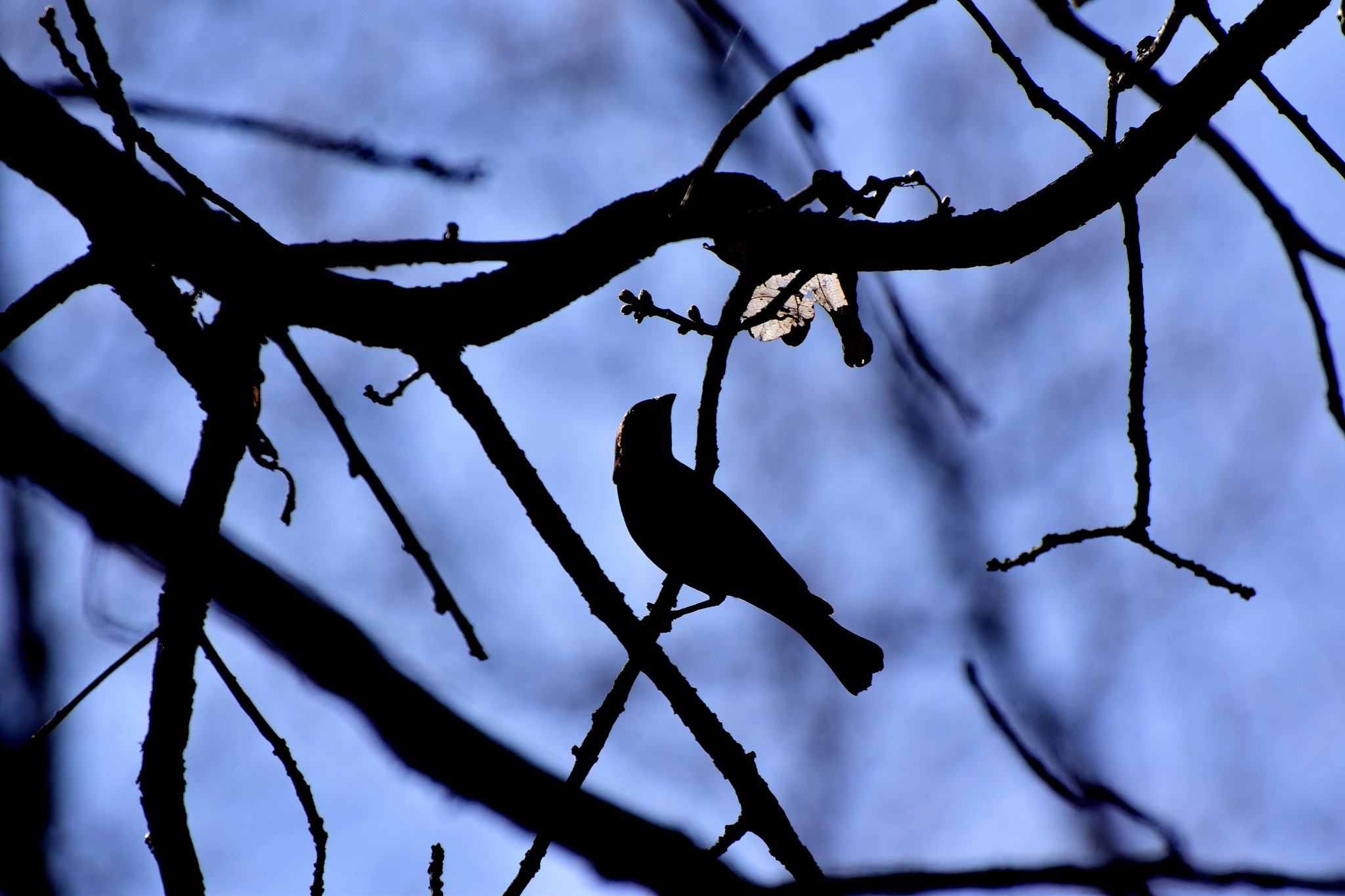 Nature's Birds 495~ Brown Headed Cowbird Silhouette by Lawrence Scott Hess