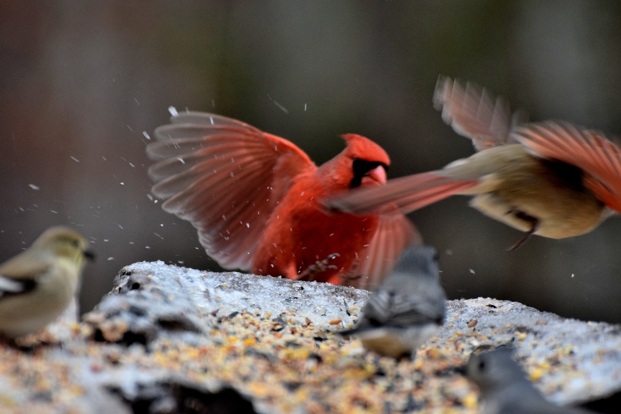 Fly Birds 44~The Wings Of Cardinals by Lawrence Scott Hess