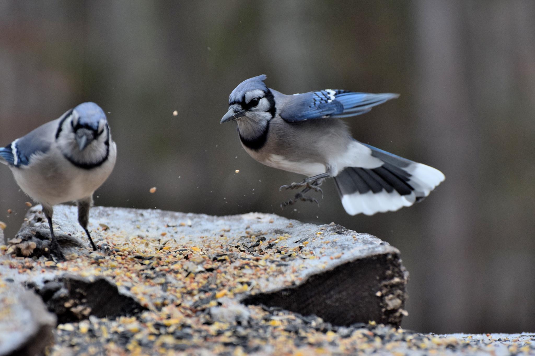 Fly Birds 47~Blue Jay Landing by Lawrence Scott Hess