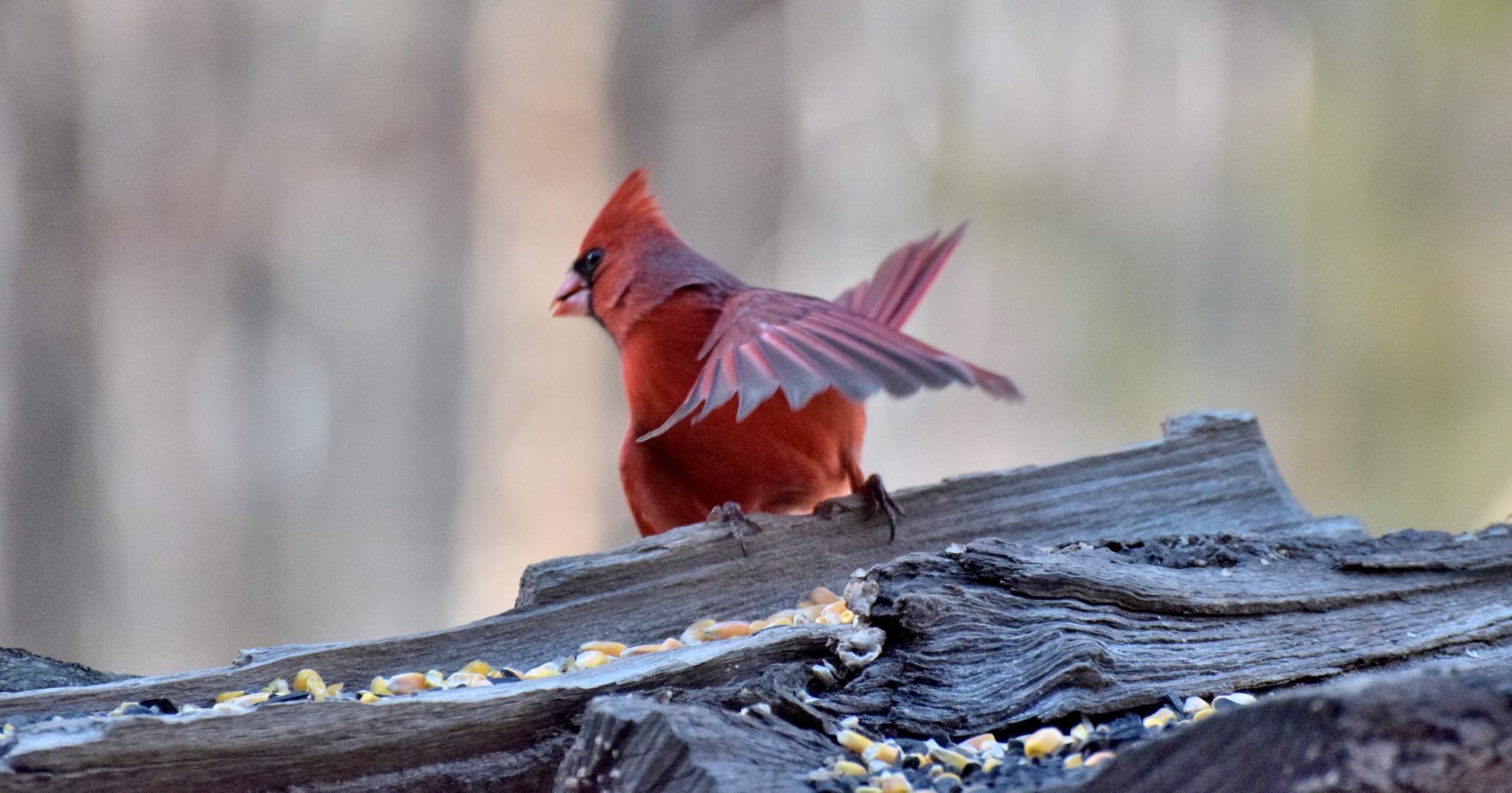 Fly  Birds51~Cardinal by Lawrence Scott Hess
