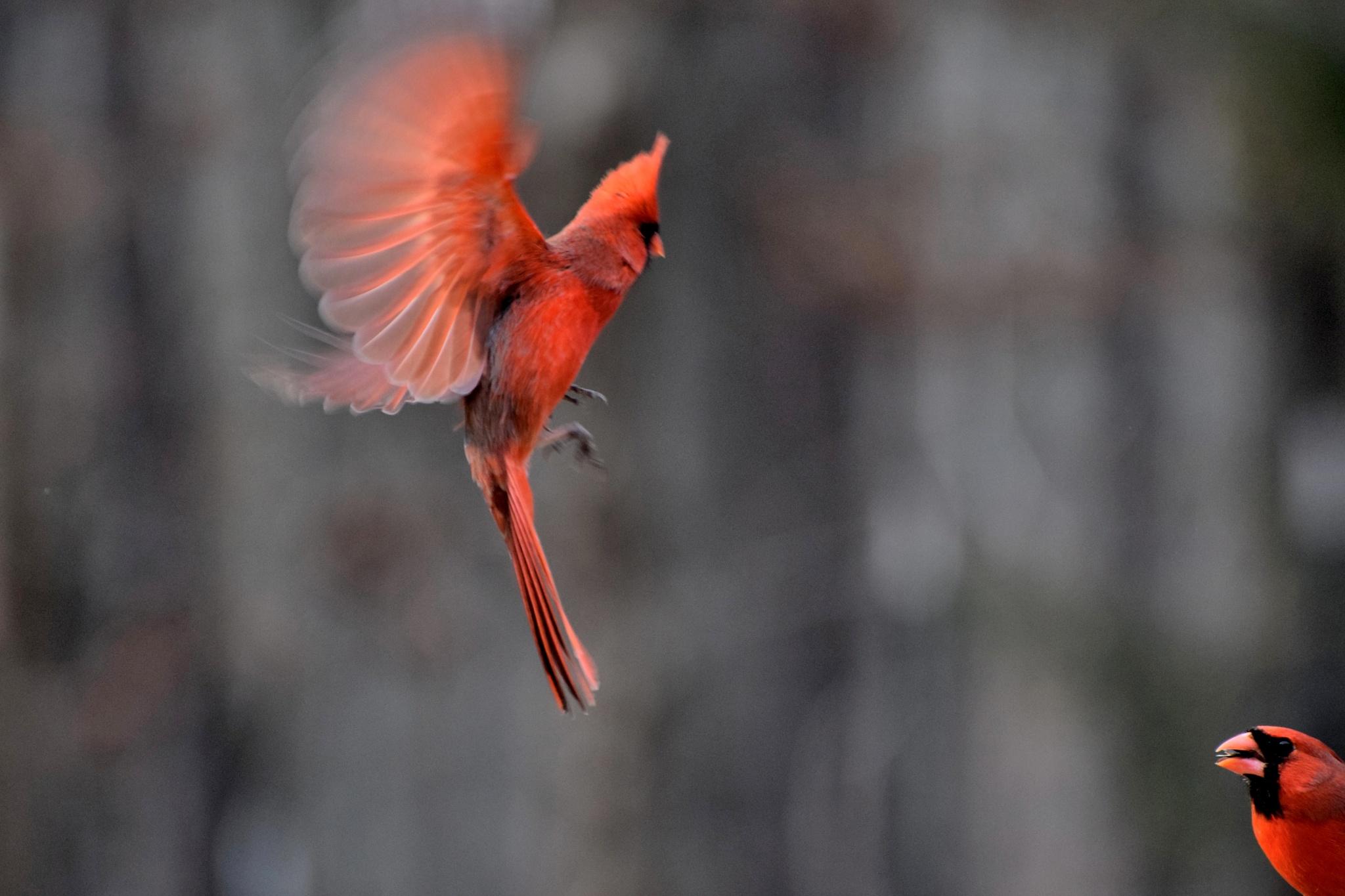Fly Birds 176~Flying Cardinal Dance by Lawrence Scott Hess