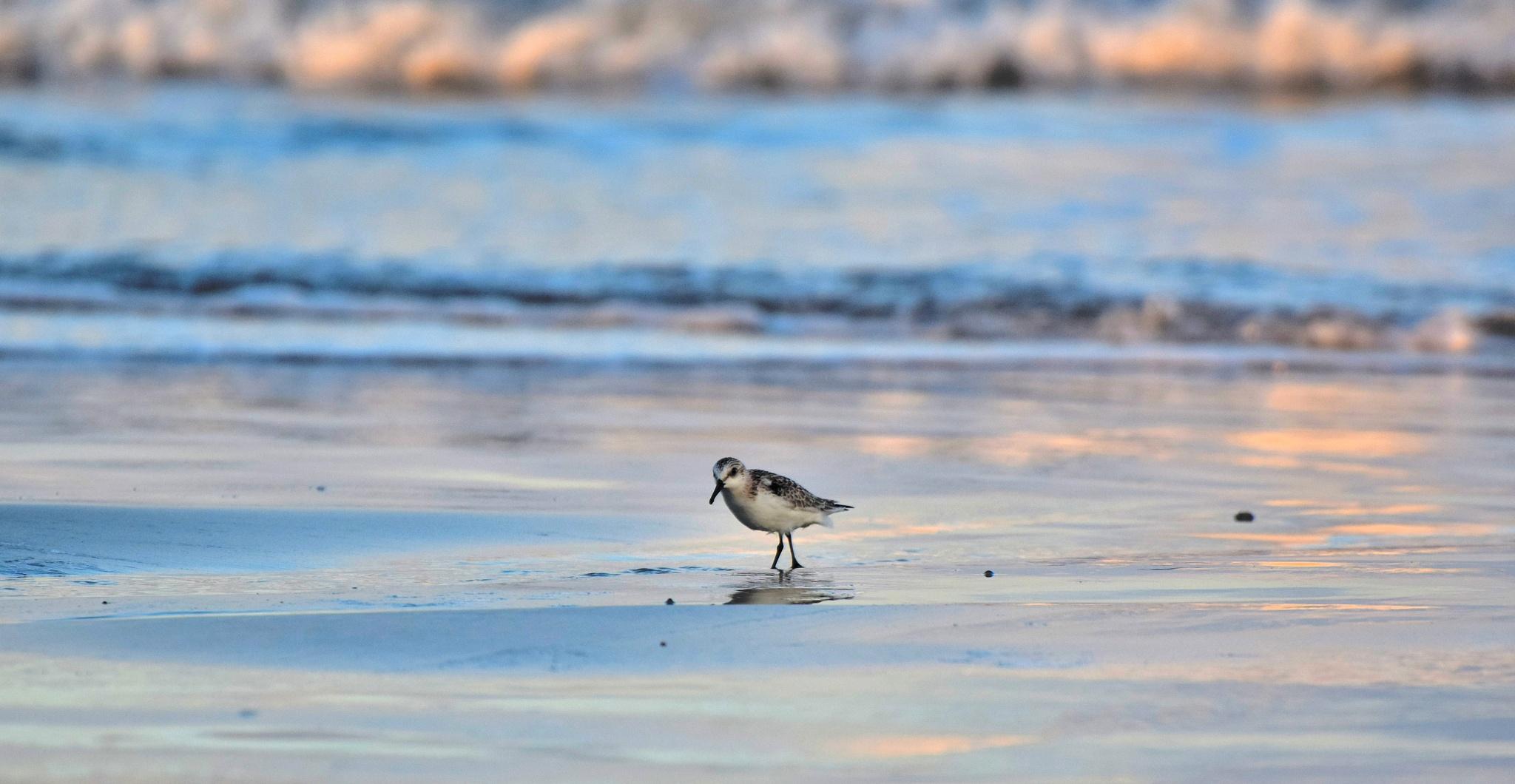 Galveston Birds 81 by Lawrence Scott Hess