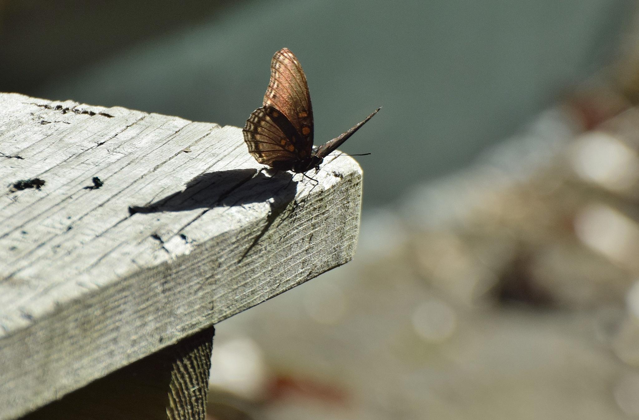 Todays Art 2512~Tabletop Butterfly 2 by Lawrence Scott Hess