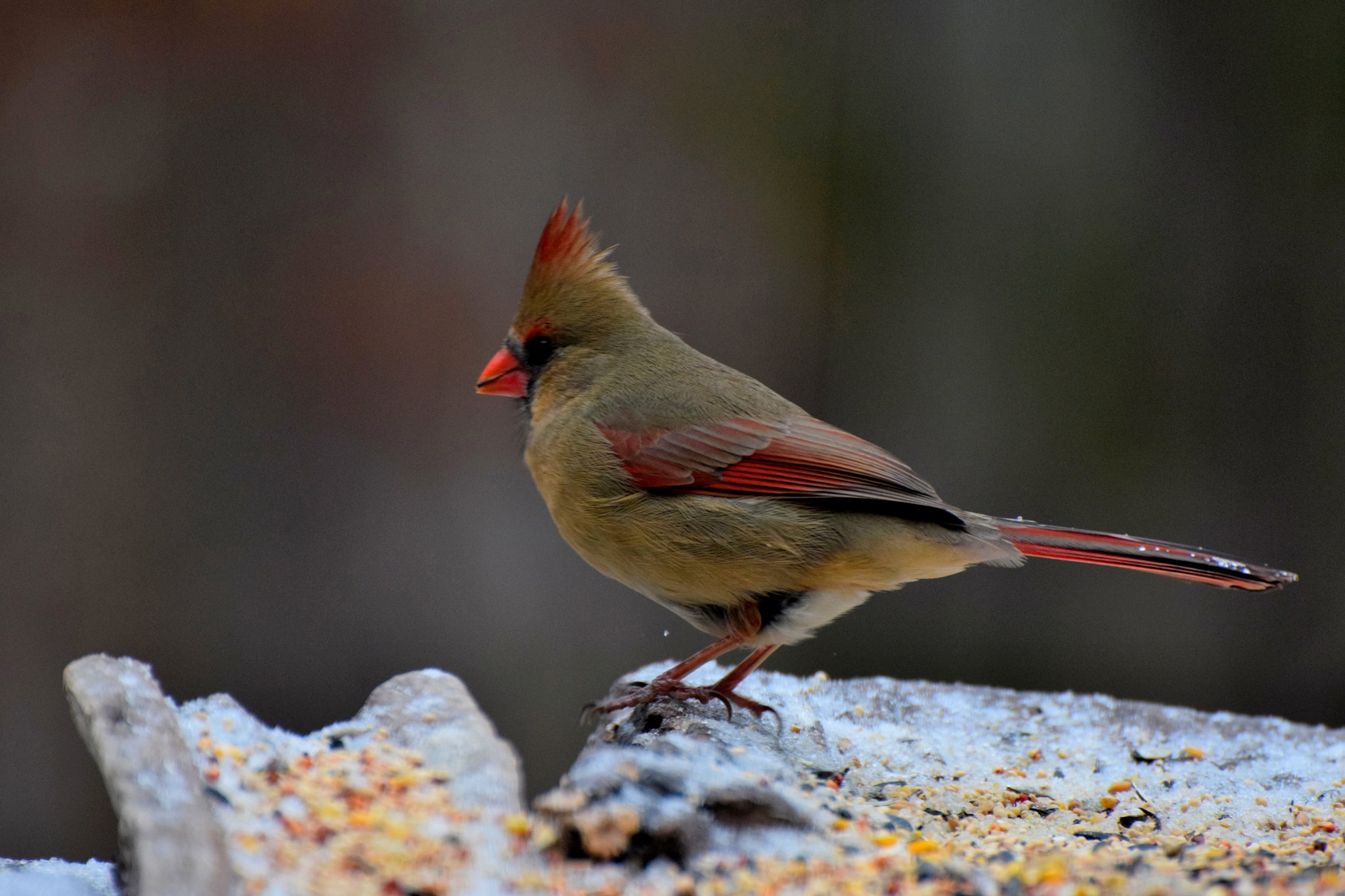 Nature's Birds 152~The Female Cardinal by Lawrence Scott Hess