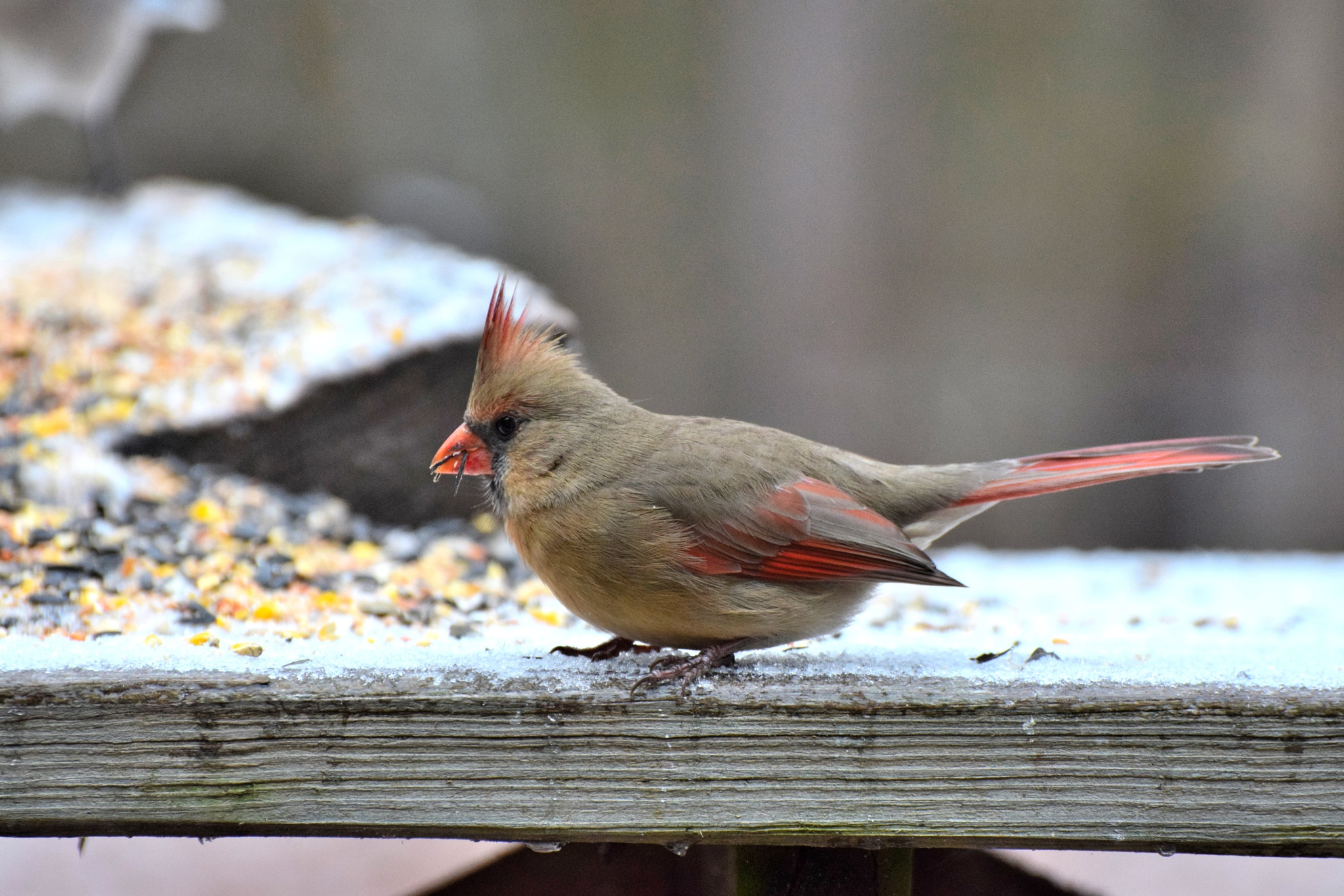 Nature's Birds 154~The Female Cardinal 3 by Lawrence Scott Hess