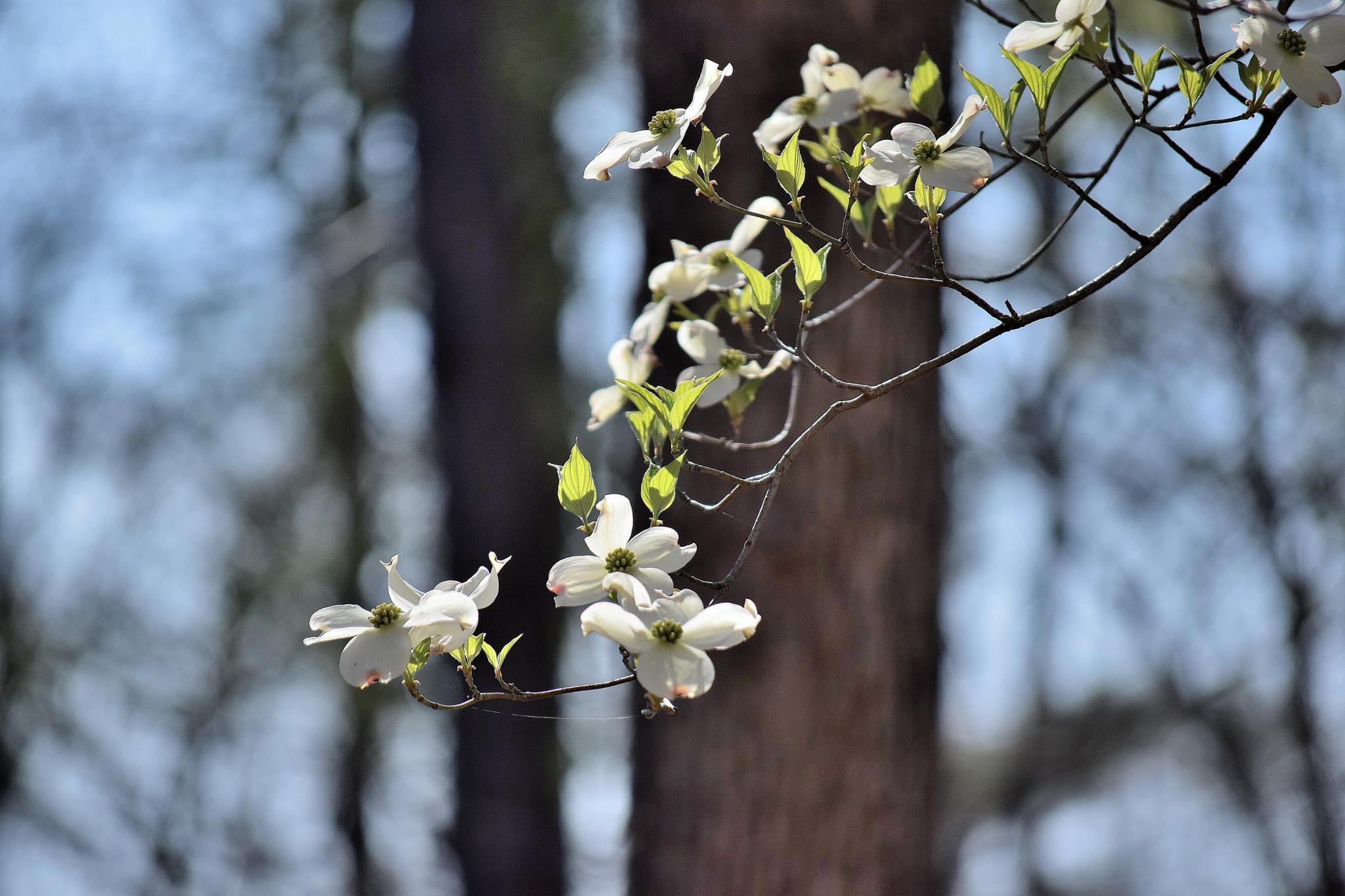 Flowers 146~Dogwood Tree by Lawrence Scott Hess
