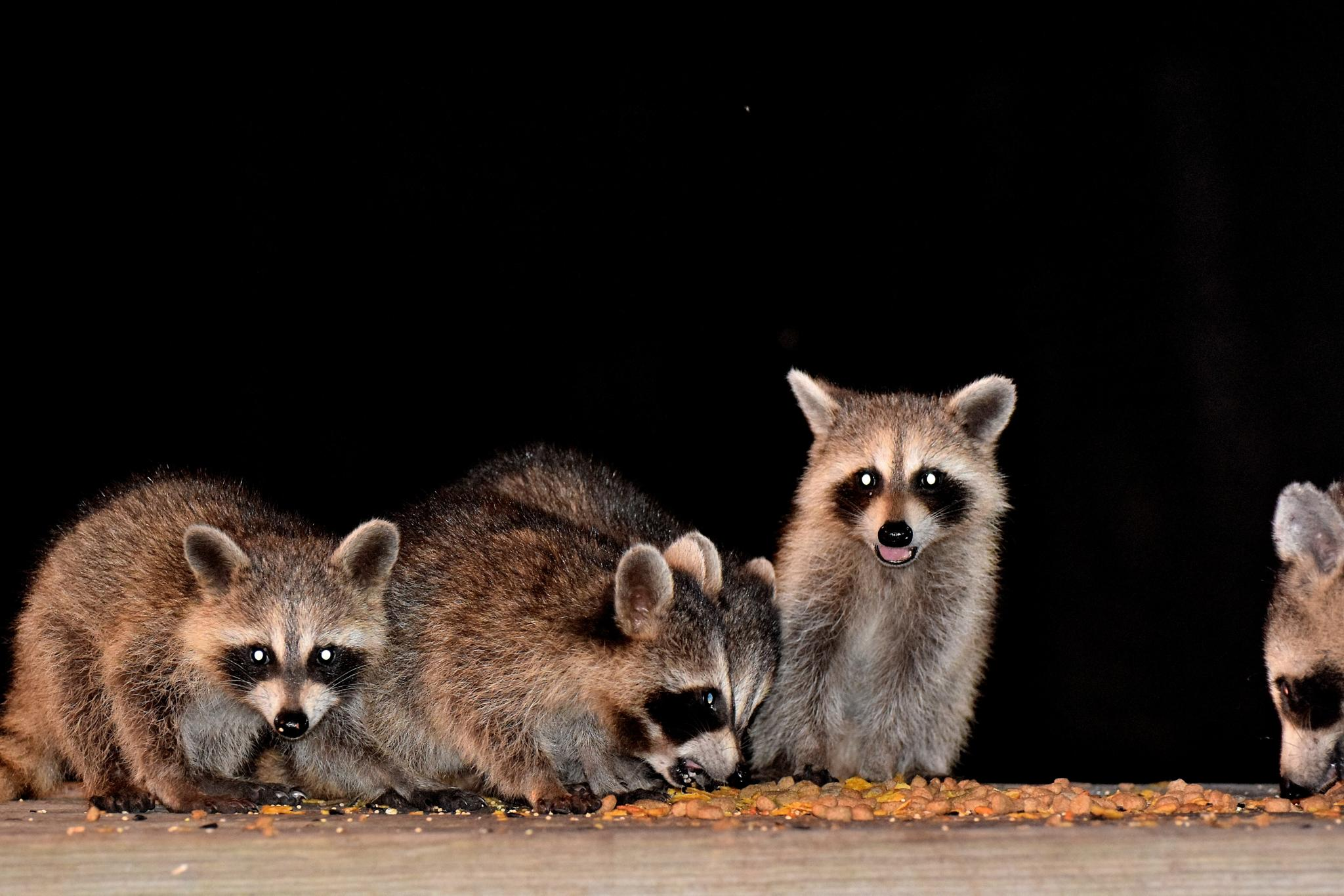 Photo in Animal #animal #animals #coons #raccoons #wild animals #wildlife #nature #arkansawhillbilly #google me: lawrence scott hess