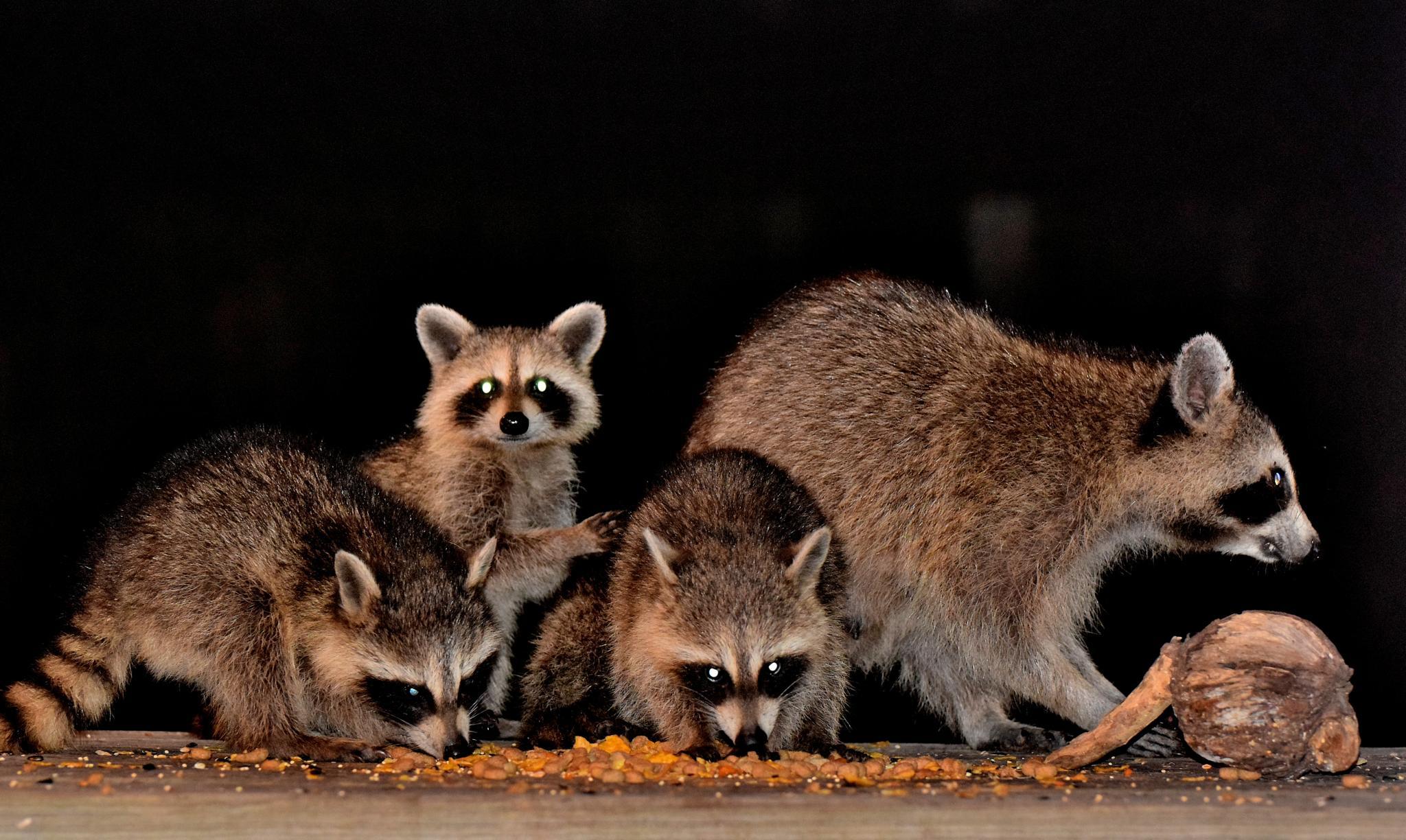 Photo in Animal #animal #animals #coons #wild animals #raccoons #wildlife #nature #arkansawhillbilly #google me: lawrence scott hess