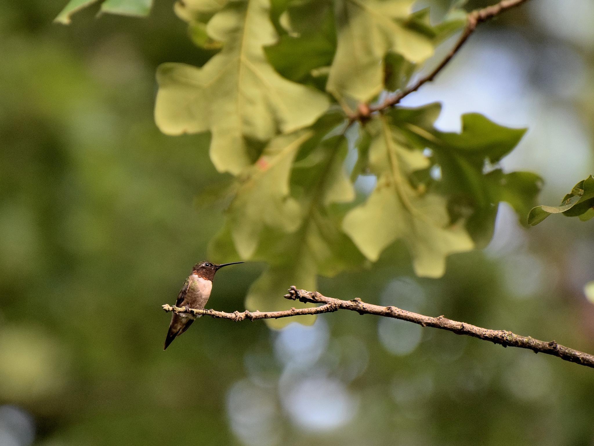 Todays Art 1484~Hummingbirds by Lawrence Scott Hess
