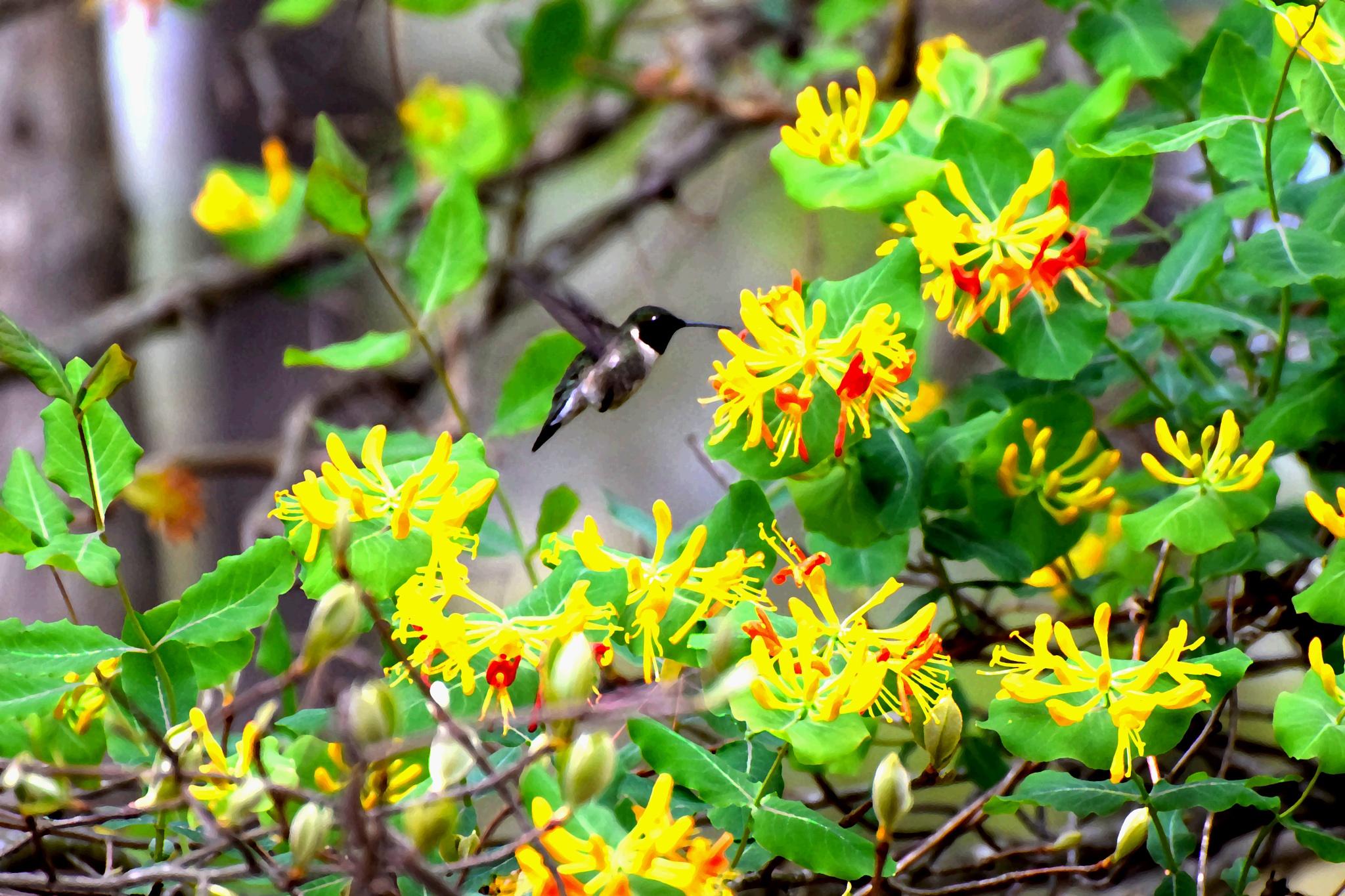 Digital Art 103~Honeysuckle And The Hummingbird by Lawrence Scott Hess