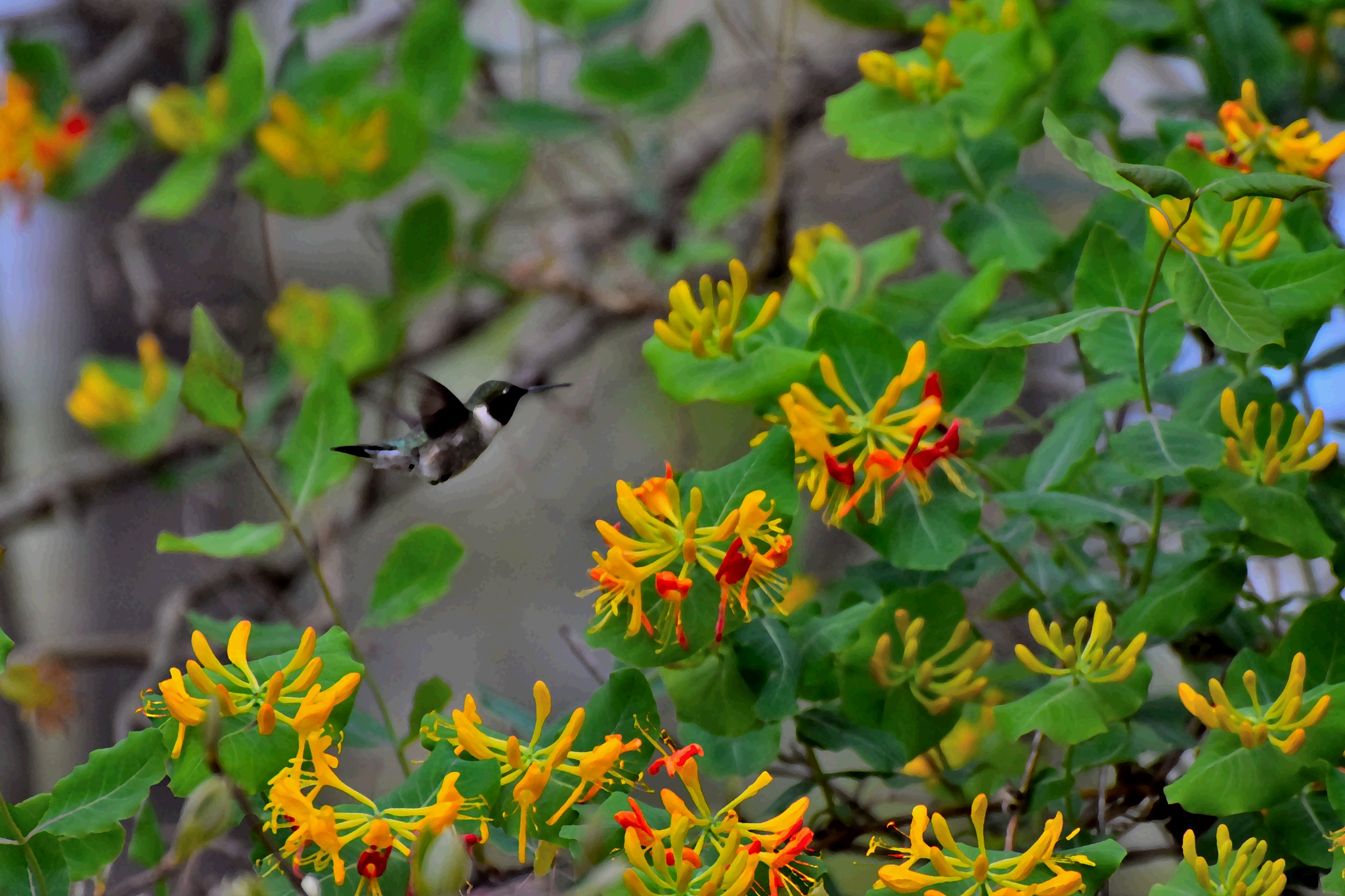 Digital Art 104~Honeysuckle And The Hummingbird 2 by Lawrence Scott Hess