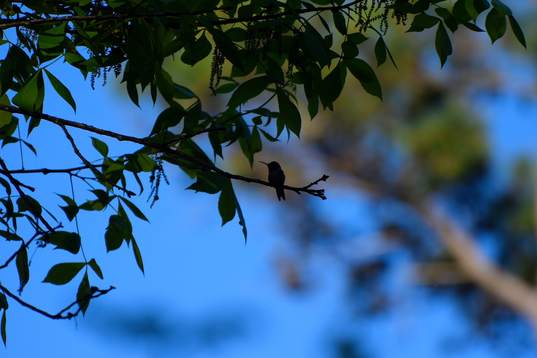 Nature's Birds 494~Hummingbird Silhouette by Lawrence Scott Hess