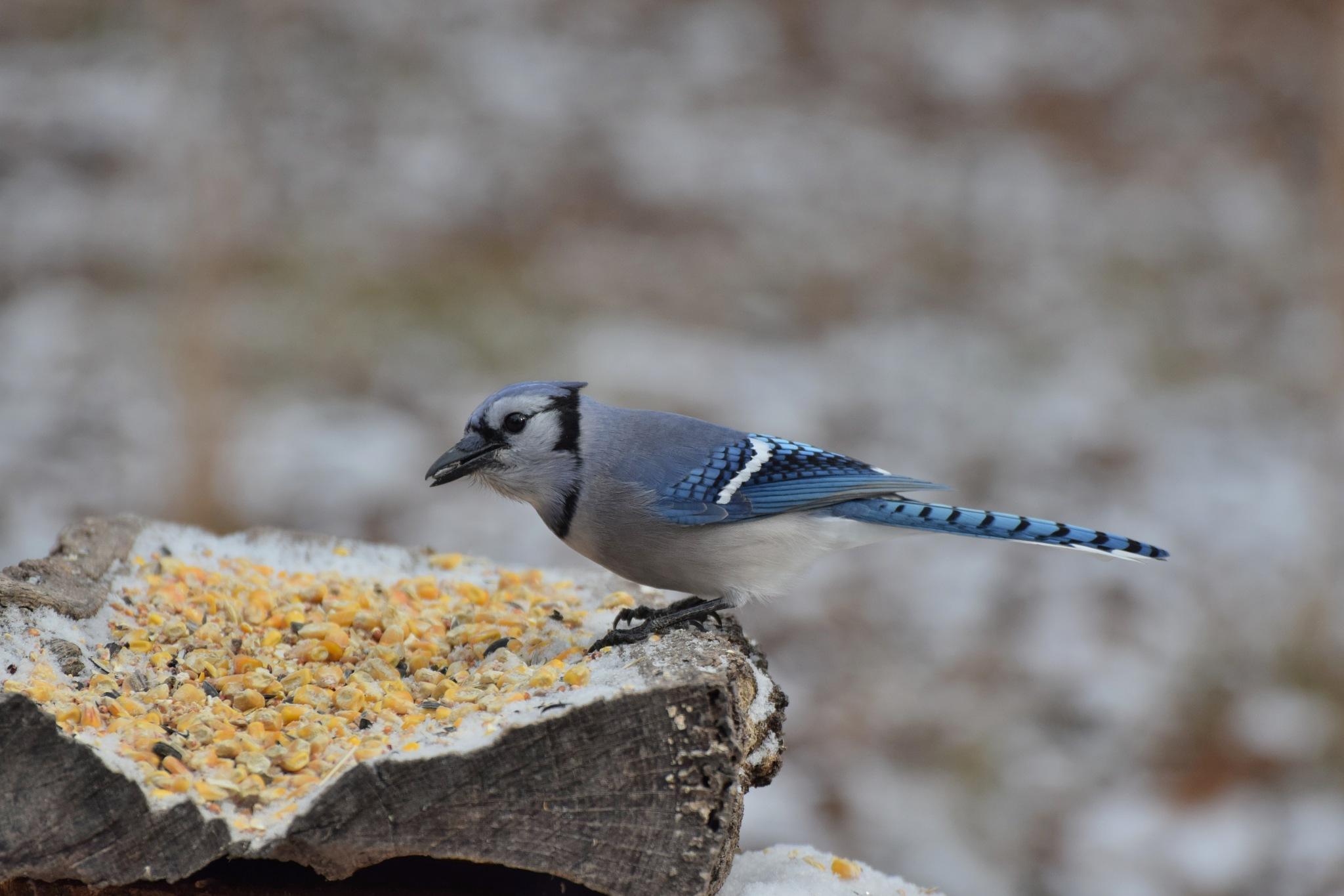 Nature's Birds 1597~A Pretty Blue Jay by Lawrence Scott Hess