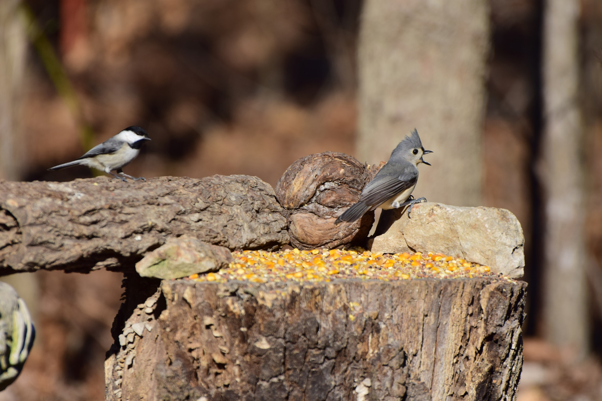 Nature's Birds 552~Squawking Tuftend Titmouse Squawking by Lawrence Scott Hess